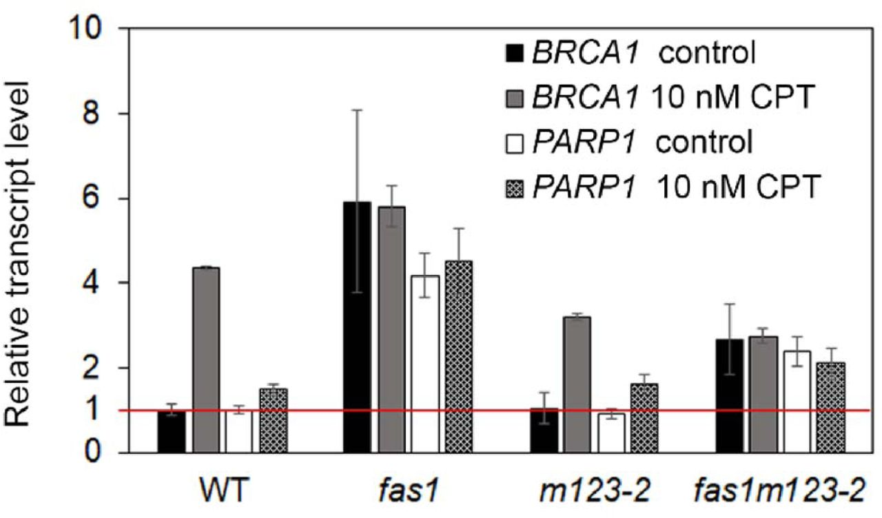 BRCA1 and PARP1 mRNA levels are altered fas1m123-2. Transcript levels of DNA damage response genes BRCA1 and PARP1 in 10-d-old seedlings of WT, fasl, m123-2 and fas1m123-2 on ½ MS medium (control) and on medium supplemented with 10 nM CPT. Relative expression levels with WT set up as 100% −1 and using ubiquitin 10 as a reference are shown. Three biological replicates were analysed, three technical replicates each, error bars indicate standard deviations.