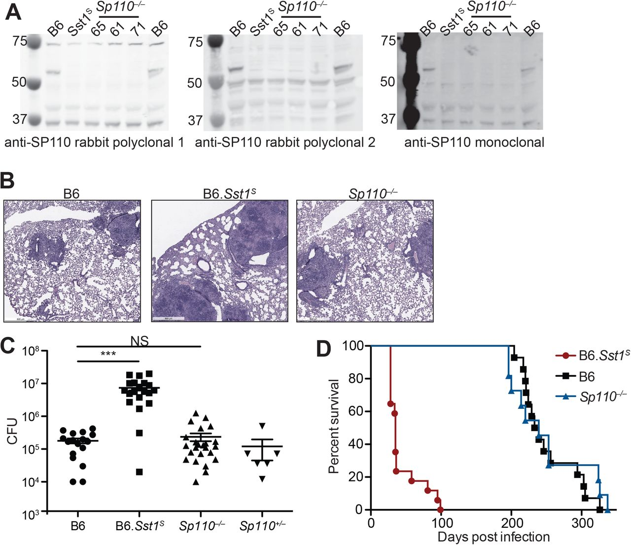 Sp110 −/− mice are not susceptible to M. tuberculosis infections. ( A ), BMMs were treated with 10U/ml of IFNγ for 24 hours and cells were lysed with RIPA buffer. 5μg of total protein was loaded on each lane, and immunoblot was performed with respective antibodies as shown. Molecular weight standards are shown on the left of each blot in kDa. Individual membranes were imaged separately. Three independent lines of Sp100 −/− mice were analyzed (denoted lines 61, 65, and 71). ( B-D ), Lung of mice infected with M. tuberculosis were stained with hematoxylin and eosin (H E) for histology ( B ), measured for CFU at 25 days post-infection (Mann-Whitney test) ( C ) or, monitored for survival ( D ). All except B6 mice were bred in-house, and combined results from the three independent Sp110 −/− lines are shown. Representative of 2 experiments ( B , D ); combined results of 3 infections ( C ). *, p ≤ 0.05; **, p ≤ 0.01; ***, p ≤ 0.005.