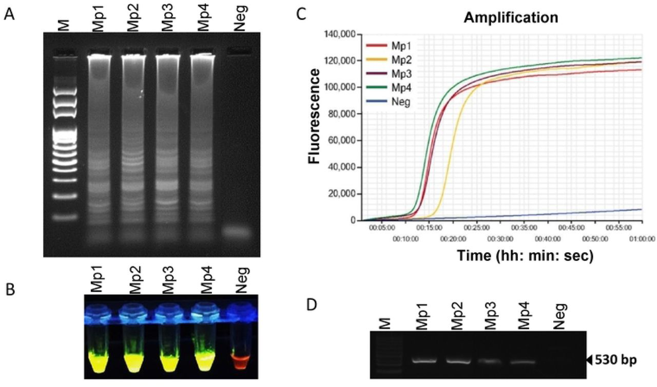 Loop-mediated isothermal amplification of DNA from four pure culture Meloidogyne partityla. Assessment was based on (A) agarose gel electrophoresis of the LAMP products; (B) visualization after addition of SYBR Green I nucleic acid stain into the reaction tubes under UV light exposure, fluorescent green color represents positive amplification; (C) real-time amplification by Genie® III; (D) PCR amplification using primer pair C2F3/1108. Lane M: 100 bp DNA ladder; Mp1, Mp2, Mp3 and Mp4: four different isolates of Meloidogyne partityla ; Neg: negative control.