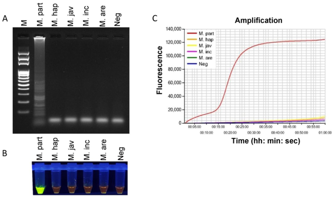 Specificity determination of LAMP assay using DNA from pure cultures of five different Meloidogyne spp. Assessment was based on (A) agarose gel electrophoresis of the LAMP products; (B) visualization after addition of SYBR Green I nucleic acid stain into the reaction tubes under UV light exposure, fluorescent green color represents positive amplification (C) real-time amplification by Genie III. Lane M: 100 bp DNA ladder;M. part; Meloidogyne partityla ; M. hap: Meloidogyne hapla ; M. jav: Meloidogyne javanica; M. inc: Meloidogyne incognita ; M. are: Meloidogyne arenaria; Neg: negative control.