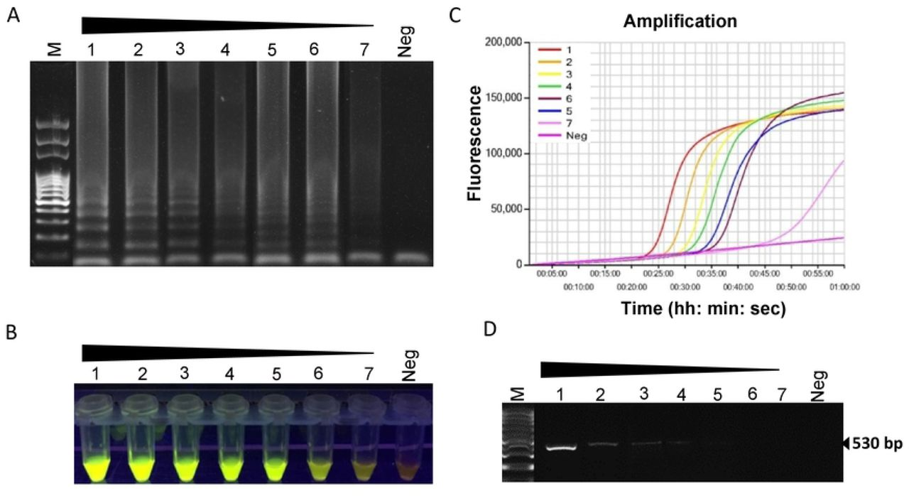 Sensitivity of LAMP assay using 10-fold serially diluted DNA extracted from pureculture of Meloidogyne partityla . Assessment was based on (A) agarose gel electrophoresis of the LAMP products (B) visualization after addition of SYBR Green I nucleic acid stain into the reaction tubes under UV light exposure, fluorescent green color represents positive amplification; (C) real-timeamplificationby Genie Ill (D) PCR amplification using primer pair C2F3/1108. Lane M: 100 bp DNA ladder; numbers 1 to 7: 10-fold serial dilution of M. partityla DNA from 100 ng/µl to 10-4 ng/µl; Neg: negative control.