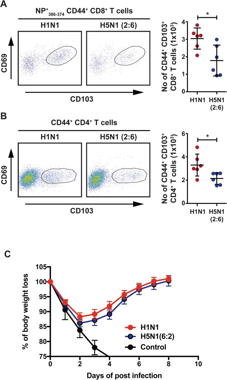 H5N1 (2:6) infection results in decreased numbers of tissue resident memory T cells in the lung parenchyma. C57BL/6 mice (n=3) were infected with H5N1 (2:6) or H1N1 virus and on day 30 pi, the frequency and absolute number of lung resident memory cells was analyzed by flow cytometry. (A) Lung resident memory CD8+ T cell responses. Representative FACS plots for lung resident memory CD8+ T cells (gated on NP+ 366-374 CD44+ CD8α+ CD8β-T cells) that display CD44+ CD69+ CD103 hi phenotype (left) and the absolute numbers of tissue resident memory CD8+ T cells (right). (B) Lung resident memory CD4+ T cell responses. Representative FACS plots (left) and absolute numbers of CD4+ T cells (right) are shown. (C) Heterologous challenges with H3N2 (X-31) virus. Mice previously infected with 50 PFU of H1N1 or H5N2(2:6) virus were challenged with H3N2 (X-31) strain at a dose of 5×10 6 PFU. The values are expressed as mean ± SD. * denotes statistical significance of