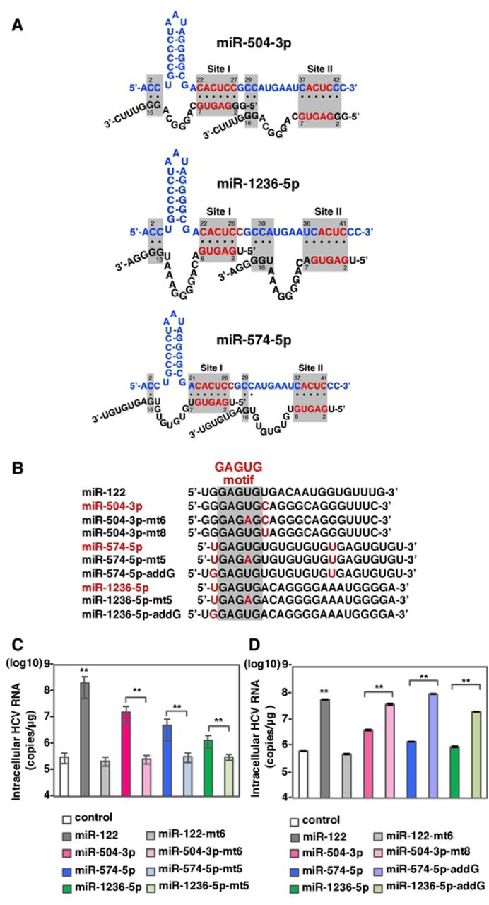 miR-504-3p, miR-574-5p and miR-1236-5p can enhance HCV-RNA replication via miR-122-type interaction. (A) Diagrams of possible interaction between HCV 5'UTR and miR-504-3p, miR-574-5p and miR-1236-5p. (B) Sequence alignment of miR-122, miR-504-3p, miR-504-3p-mt6, miR-504-3p-mt8, miR-574-5p miR-574-5p-mt5, miR-574-5p-addG, miR-1236-5p, miR-1236-5p-mt5 and miR-1236-5p-addG. Mismatching nucleotides were shown in red. (C, D) Intracellular HCV-RNA levels of 751-122KO cells infected with JFH1 in the presence of mimic control, miR-122, miR-504-3p, miR-574-5p and miR-1236-5p or their mutant derivatives were determined at 72 hpi by qRT-PCR. The data are representative of three independent experiments. Error bars indicate the standard deviation of the mean and asterisks indicate significant differences (**P