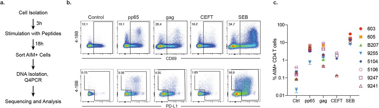 (a) Experimental overview. PBMCs were depleted of CD8 + T cells and rested for 3h before stimulation for 18h with peptide pools. Cells were then purified based on expression of activation induced markers (AIM) (CD69, PD-L1 and 4-1BB, Supplemental Figure 1 ). DNA was isolated from sorted cells, Q4PCR was performed, and sequenced viruses were assembled and analyzed. (b) Representative example of cell purification by AIM after stimulation with CMV-pp65, HIV-gag, CEFT (from 4/8 donors) or SEB by gating on CD69-positive cells followed by gating on PD-L1 positive or 4-1BB positive cells. Control CD4 + T cells cultured with MOG were purified on the basis of CD4 expression alone. Each AIM assay staining was performed twice on each donor. Numbers represent the percentage of total CD4 + T cells within each gate. (c) Frequency of AIM+ cells across all donors. Cells were processed and sorted as in (b).