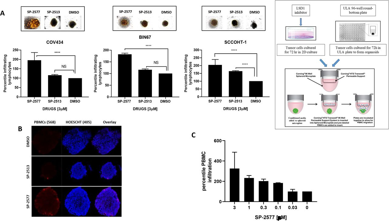 SP-2577 promotes lymphocytes infiltration in SCCOHT tumor organoids ( A ) Immune infiltration assay in SCCOHT organoids imaging analysis. COV434, BIN67 and SCCOHT-1 derived-organoids were incubated with conditioned medium pretreated with 3 μM SP-2577, SP-2513 or DMSO in the presence of RFP-tagged PBMCs. After 48h the levels of lymphocyte infiltration were measured by z-stack analysis by Cytation 5 imaging. P values for COV434=