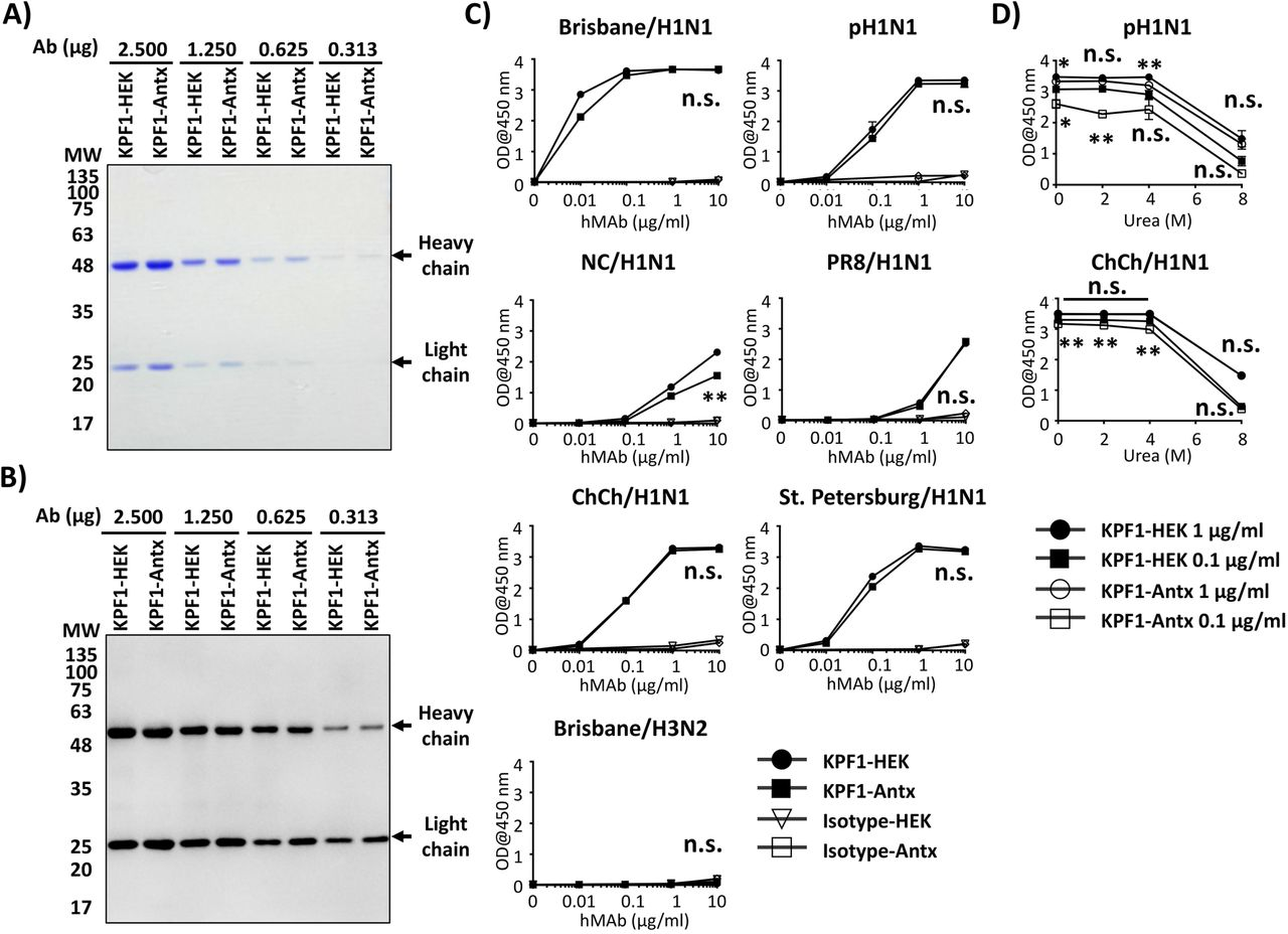 In vitro characterization of KPF1-Antx hMAb. A-B) Purity and mobility of the KPF1-HEK and KPF1-Antx hMAbs: Equal amount of KPF1 hMAbs (2.500, 1.250, 0.625 and 0.313 μg) generated from either HEK293T cells (KPF1-HEK) or tobacco plant (KPF1-Antx) were separated by SDS-PAGE and evaluated by Coomassie blue staining ( A ) or Western blot using an anti-human IgG HRP-conjugated Ab ( B ). C) Recombinant HA binding of KPF1-HEK and the KPF1-Antx hMAbs: Binding to 1 μg /ml of indicated HA proteins was determined for serially diluted hMAbs by ELISA. n.s.: No significance. D) Avidity: Binding of hMAbs in the presence of increasing concentrations of urea was determined by ELISA. The statistical analysis between KPF1-HEK and KPF1-Antx (markers above the lines; between 1 μg/ml of KPF1-HEK and KPF1-Antx, marker below the lines: between 0.1 µg/ml of KPF1-HEK and KPF1-Antx), * p