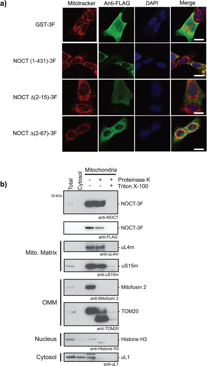 NOCT protein is localized to the mitochondria, dependent on its N-terminal mitochondrial targeting sequence. a) Immunofluorescence analysis of intracellular localization of NOCT constructs. NOCT-3F is localized to the mitochondria whereas NOCT Δ( 2 - 15 )-3F and NOCT Δ( 2 - 67 )-3F constructs, which lack the MTS, are predominantly localized to the cytoplasm. The NOCT expression plasmids indicated on the left were transfected into 143B human osteosarcoma cells and visualized using anti-FLAG monoclonal antibody immunofluorescence against the C-terminal 3x-FLAG epitope on each construct with Alexa Fluor Plus 488 secondary antibody (green). Mitochondria are visualized with MitoTracker Red CMXRos (red) and nuclei are visualized with DAPI (blue). GST-3F served as a control. The white scale bar is 10 µm. b) NOCT fractionates with the mitochondria, as tested by western blotting of subcellular fractions (including total, cytosol, and mitochondria) prepared from HEK293T cells that were transfected with NOCT (1-431)-3F. The mitochondrial fractions were divided into three equal aliquots and were either left untreated or were treated with <t>Proteinase</t> K or Proteinase K with Triton X-100. The fractions were then analyzed by SDS PAGE and western blotting with the indicated antibodies. NOCT was detected using guinea pig polyclonal anti-NOCT and goat monoclonal anti-DDDDK (FLAG) antibodies. Fractionation was validated using the following antibodies: anti-uL4m and anti-uS15m for the mitochondrial matrix, anti-Mitofusin 2 and anti-TOM20 for the outer mitochondrial membrane, anti-Histone H3 for the nucleus, and anti-uL1 for the cytoplasm.