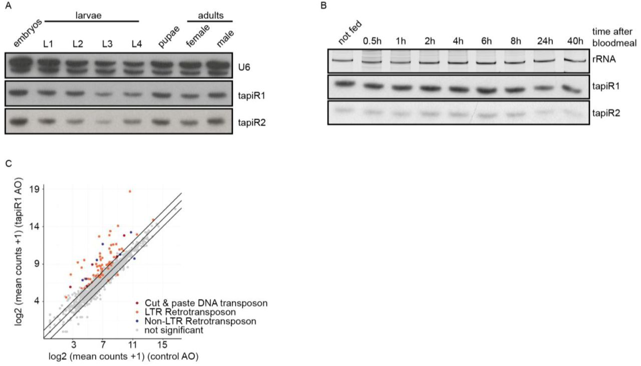 Antibody validation, uncropped Western blot images, knockdown efficiencies, and scoring scheme for the development of Ae. aegypti embryos. (A) Validation of Ae. aegypti PIWI antibodies. Specificity was confirmed by detection of an additional band in PTH-tagged PIWI-expressing Aag2 cells, and loss of signal upon dsRNA-mediated knockdown. Knockdown with dsRNA targeting RLuc (dsRLuc) serves as negative control. (B) Uncropped Western blot images corresponding to Extended Data Fig 2B . (C-E) Knockdown efficiencies of PIWI genes shown in Extended Data Fig 2D (D) , siRNA and miRNA pathway genes shown in Extended Data Fig 2E (E) , and AAEL017385 isoforms in the experiment shown in Extended Data Fig 3C (F) (F) Representative images of embryos scored as either undeveloped, intermediate or fully developed at 2.5 days post injection with antisense RNA oligonucleotides.