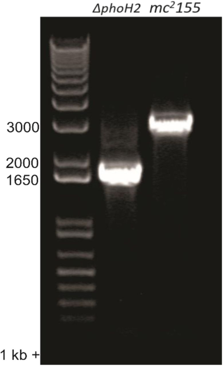 PCR confirmation of phoH2 deletion from M. smegmatis mc 2 155. PCR using primers that flanked the deletion site were used with M. smegmatis mc 2 155 or mc 2 155 ΔphoH2 DNA as template to confirm the deletion of phoH2 . Expected band sizes: mc 2 155 – 2914 bp and mc 2 155 ΔphoH2 – 1622 bp.