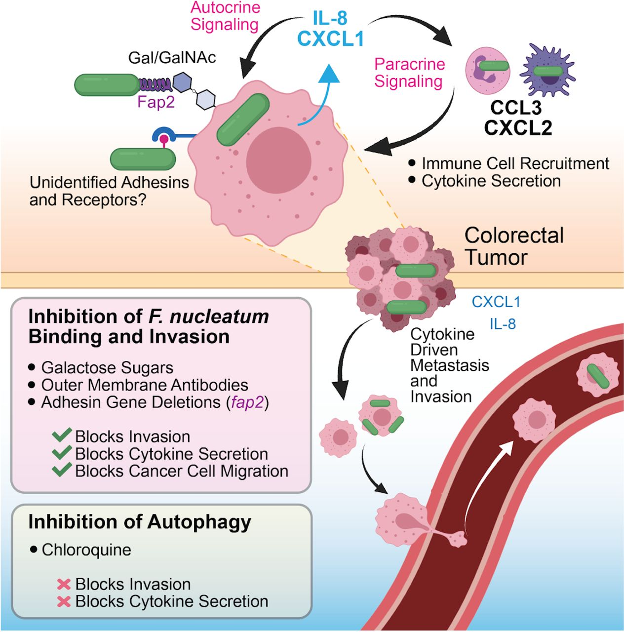 A model of F. <t>nucleatum</t> induced metastasis through cytokine signaling. We show that F. nucleatum induces IL-8 and CXCL1 secretion from CRC cells, and both cytokines have been characterized as key players in cancer metastasis and subsequent downstream cell seeding. As well as autocrine signaling back to cancer cells as a metastatic signal, HCT116 derived cytokines can participate in paracrine signaling to recruit neighboring immune cells, which further secrete their own cytokine signatures that alter the tumor microenvironment through metastatic, inflammatory, and immune cell programming.
