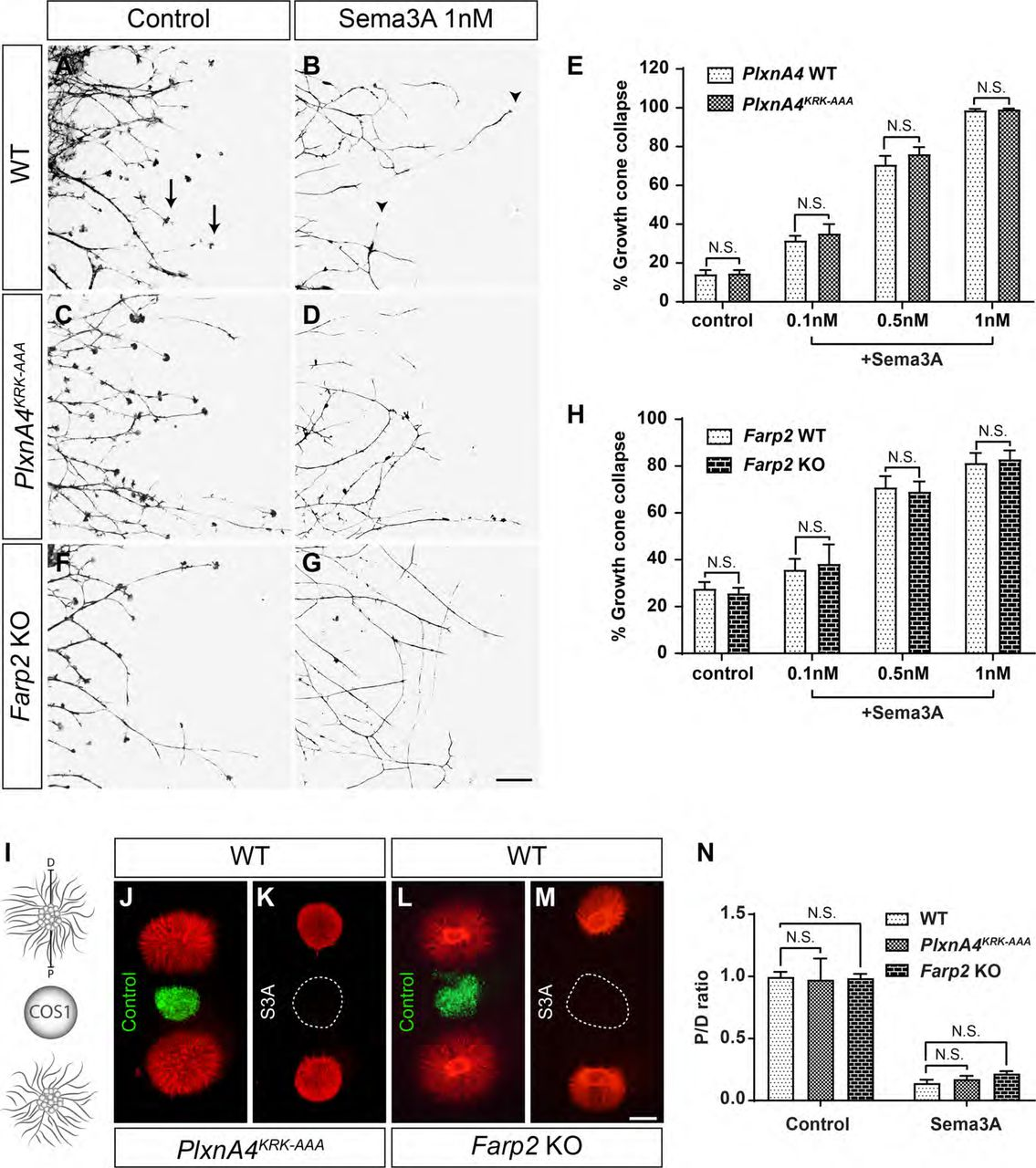 PlxnA4 KRK-AAA and Farp2 KO DRG axons show intact Sema3A-dependent responses in vitro . A-H , DRG explants from WT ( A-B ), PlxnA4 KRK-AAA ( C-D ) and Farp2 KO ( F-G ) E13.5 embryos were grown for 48hr, treated with 0.1, 0.5 or 1nM AP-Sema3A (only 1nM is shown) or control conditioned media and stained using Phalloidin-Rhodamine to visualize growth cone collapse. Arrows indicate intact growth cones and arrowheads indicate collapsed growth cones. Quantification of collapse response ( E and H ) as a mean percentage of collapsed growth cones out of the total ± SEM; N.S., non-significant; two-way ANOVA with post hoc Tukey test. Scale bar, 50μm. I-M , Schematic representation of the collagen axonal repulsion assay ( I ), where E13.5 DRG explants from PlxnA4 KRK-AAA and WT littermates ( J-K ) or Farp2 KO and WT littermates ( L-M ) were co-cultured for 48hrs with a COS1 aggregate either secreting myc-Sema3A (dashed circle) or expressing control PAY1-GFP (green). Cultures were visualized using anti-Tubulin class III immuno-staining. N , Quantification of axonal repulsion using the proximal/distal (P/D) ratio, as indicated in ( I ). Data are means ± SEM; N.S., non-significant, Student's t-test. Scale bar, 500μm.