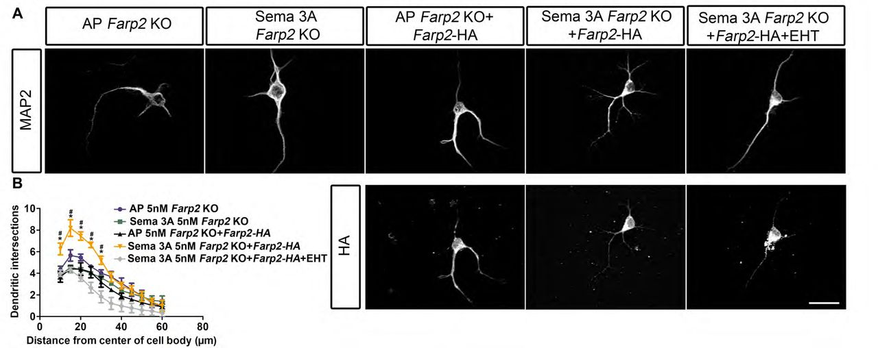 Inhibition of Rac signaling abolishes Sema3A-mediated cortical neuron dendrite elaboration but does not hinder Sema3A-dependent growth cone collapse of WT or PlxnA4 KRK-AAA DRG axons in vitro . A-L , DRG explants from WT ( A-F ) and PlxnA4 KRK-AAA littermates ( G-L ) E13.5 embryos were grown for 48hr, treated for 30min with the pan-Rac inhibitor EHT 1864 at a concentration of 5μM ( B, D, H, J ), 10μM ( C, E, I, K ) or nothing as control ( A, G, F, L ). Then, 1nM Sema3A or control conditioned media was added for 30min ( D-F, J-L and A-C, G-I , respectively), followed by fixation and Phalloidin-Rhodamine staining for assessment of growth cone collapse. Black arrows indicate intact growth cones and arrowheads indicate collapsed growth cones. M-N , Quantification of collapse response as a mean percentage of collapsed growth cones out of the total ± SEM in WT and PlxnA4 KRK-AAA axons, respectively. N.S. – non-significant. Scale bar, 50μm. O , Representative confocal micrographs of dissociated primary cortical neurons obtained from WT E13.5 embryos. The neurons were treated with 5nM AP, treated with 5nM Sema3A, 5nM Sema3A+2.5uM EHT, 5nM Sema3A+5uM EHT, and 5nM Sema3A+10uM EHT. P-S , Sholl analysis of dendritic intersections ( P ) total dendritic length ( Q ) the DCI ( R ) and number of dendritic tips ( S ), for all treatment conditions described above. Data are means, ±SEM from n=3 independent cultures, two-way ANOVA with post doc Tukey test, p