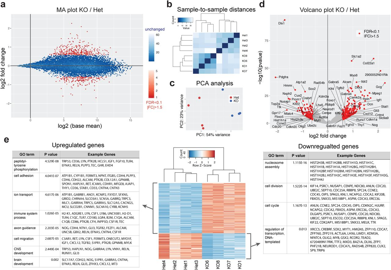 Loss of <t>BAF53a</t> leads to reduced expression of cell cycle regulators and enhanced expression of differentiation genes. (a) Genome-wide gene expression changes measured by RNA-seq in BAF53a mutant ( <t>Nestin-Cre</t> ; Baf53a fl/– , KO) and heterozygous control ( Nestin-Cre ; Baf53a fl/+ , Het) forebrains at E15.5 (n=4). Magnitude and average (MA) plot (KO/Het) of RNA-seq data, displaying significantly changed genes in red (FDR