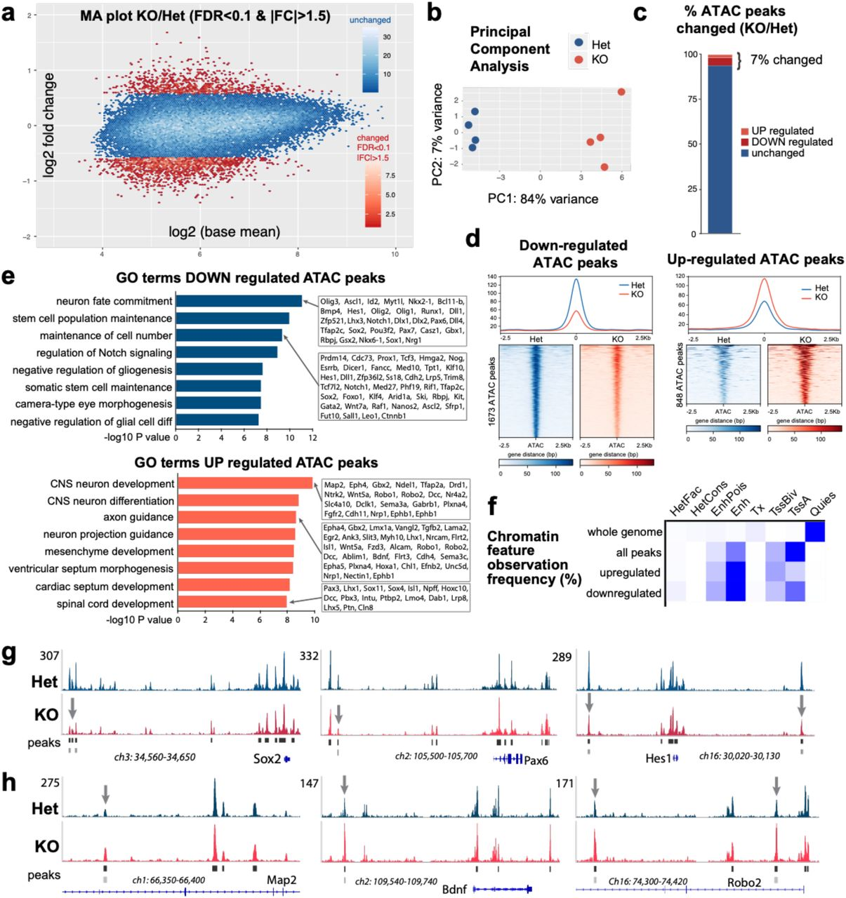BAF53a regulates chromatin accessibility at NPC identity and neural differentiation genes. (a) Genome-wide chromatin accessibility changes as measured by ATAC-seq in BAF53a mutant ( Nestin-Cre ; Baf53a fl/– , KO) and heterozygous control ( Nestin-Cre ; Baf53a fl/+ , Het) forebrains at E15.5 (n=4). Magnitude and average (MA) plot (KO/Het) of ATAC-seq data, displaying significantly changed peaks in red (FDR