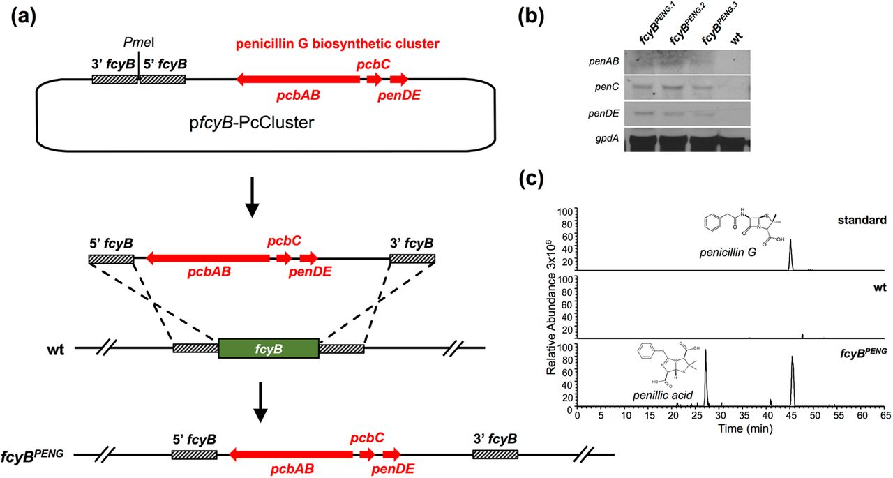 Genomic insertion of the PcCluster transformed A. fumigatus into a penicillin G producer. (a) To facilitate genomic integration of the PcCluster at the fcyB locus, the plasmid p fcyB -PcCluster comprising the respective DOI (17 kb) as well as fcyB 5' and 3' NTRs was generated. Linearization of this plasmid with PmeI allows homologous recombination-based replacement of fcyB coding sequence with DNA containing the PcCluster. (b) Expression of functional pcbAB, pcbC and penDE was monitored in three independent transformants using Northern blot analysis (gpdA was used as reference). (c) LC-MS/MS extracted ion chromatograms of penicillin G (peak at 45 min) and its degradation product penillic acid (peak at 27 min) in the culture supernatant of fcyB PENG after shaking incubation for 48 h at 25 °C. wt served as negative control.