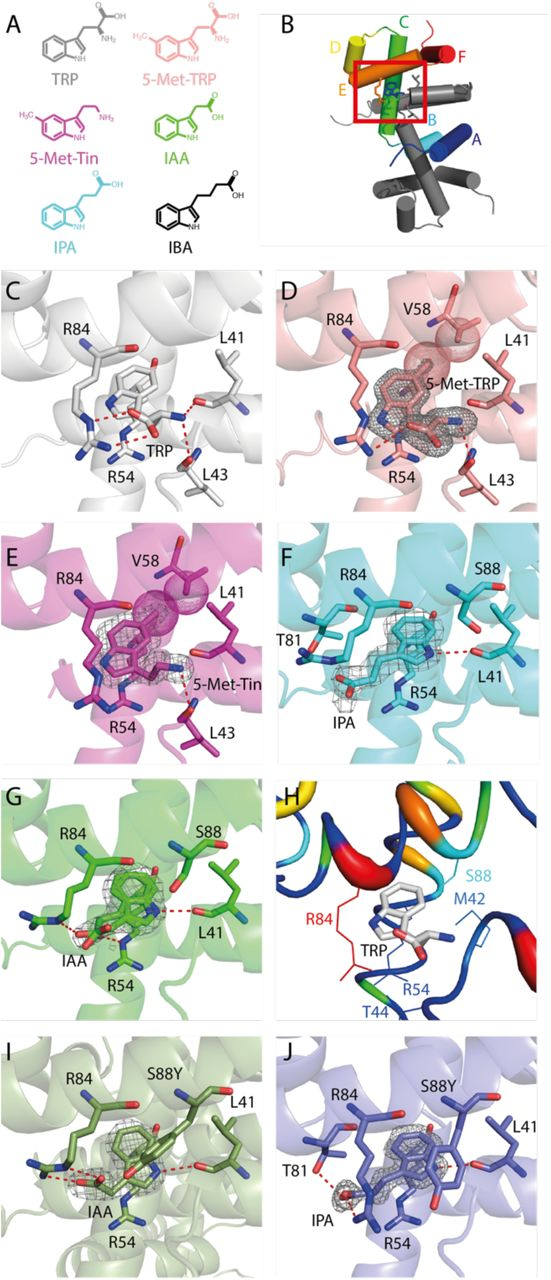 Diverse ligand binding in TrpR. (A) Ligands studied. (B) Structure of TrpR with helices labeled by letters. (C–G) TrpR bound to the native ligand TRP, the co-repressors <t>5-methyl-tryptophan</t> and 5-methyl-tryptamine, and the pseudo-repressors IPA and IAA. (H) Binding pocket colored by rmsd of the former five structures (red = high, blue = low). (I–J) TrpR-S88Y with IAA and IPA. Shown are magnifications as indicated in (B). Ligand 2F O -F C density is contoured at 1σ. Important interactions are indicated by red dashed lines (electrostatic) and spheres (van-der-Waals).