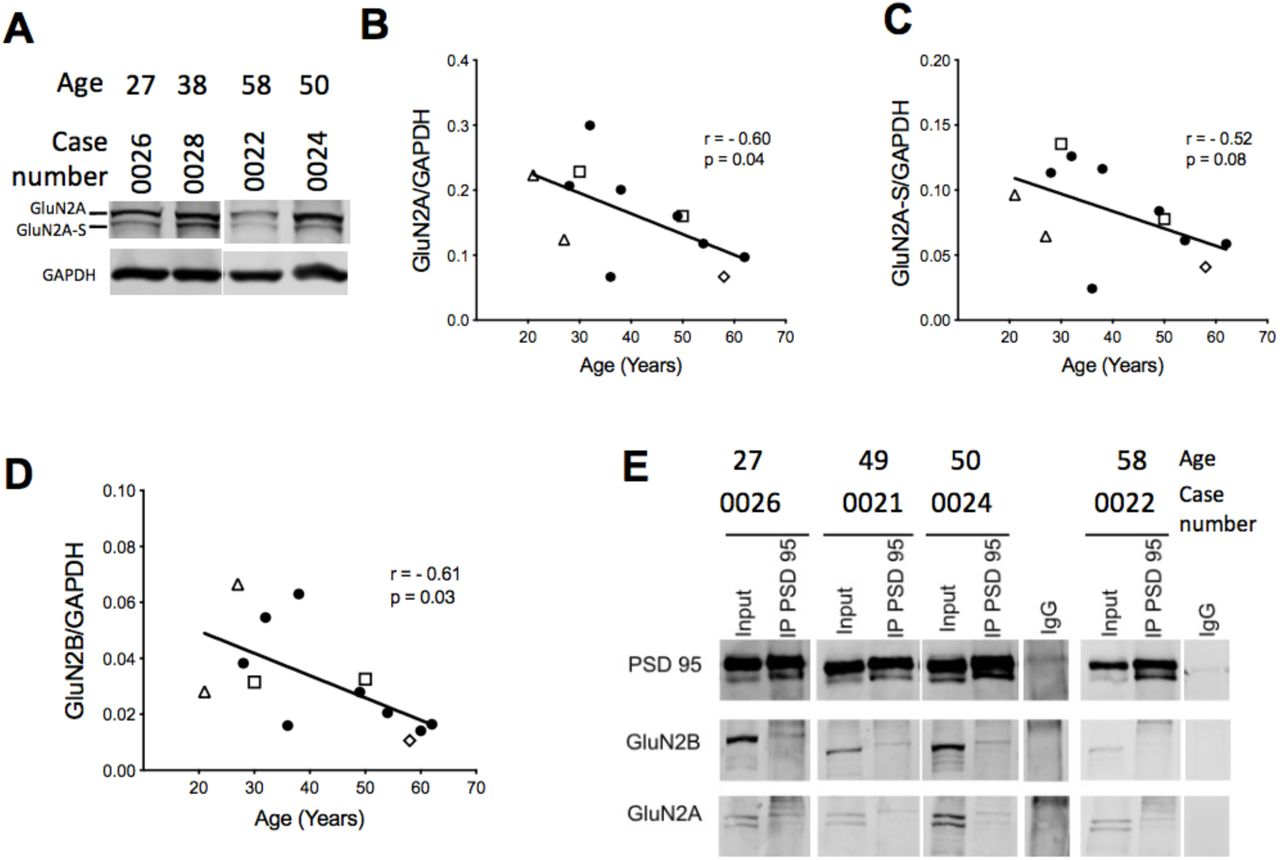 GluN2A and GluN2B protein levels in adult human temporal cortical tissue homogenate show an age-dependent decline. (A) Representative examples of GluN2A blot showing GluN2A and GluN2A-S bands. Quantification for GluN2A (B) and GluN2A-S (C), and GluN2B (B, from blots shown in Fig. 1E ) relative to the constitutive protein <t>GAPDH.</t> Spearman's coefficient of correlation (r) and p-value (p) are indicated for each measure. (E) Representative blots of GluN2A and GluN2B subunits co-immunoprecipitated with <t>PSD-95</t> using human temporal cortical tissue lysates. Symbols in B, C and D correspond to the neurological condition necessitating neurosurgery as depicted in Figure 1 .