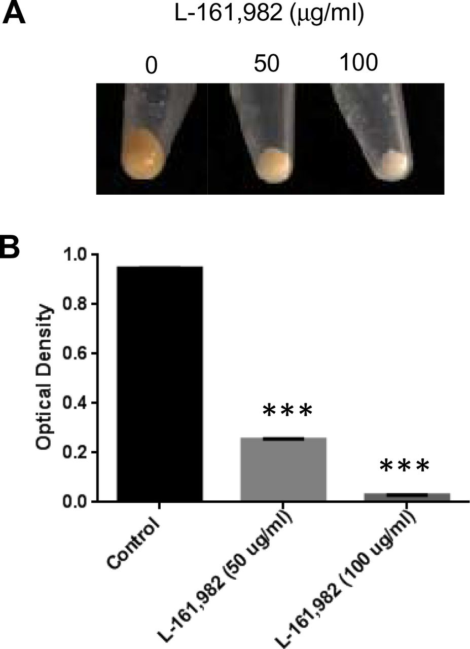 Growth in the presence of L-161,982 inhibits pigment production of S. aureus. Pigment (staphyloxanthin) levels were measured from cultures grown in Mueller-Hinton broth +/-L-161,982 at 37°C for 24h. A) Macroscopic analysis of S. aureus pigment production. B) Pigment was extracted in methanol and optical density measured at 450nm. Data shown are representative of two independent experiments. *** p