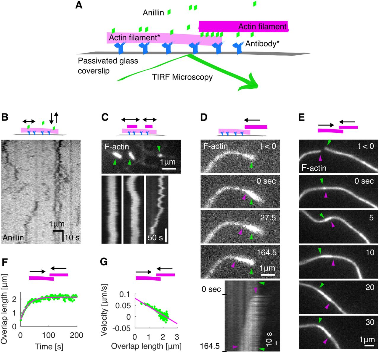 Anillin slides actin filaments to maximize their overlap. ( A ) Schematic representation of the experimental setup. The asterisk denotes components used only in experiments with immobilised filaments. ( B ) Intensity-inverted kymograph showing single anillin-GFP molecules diffusing along an actin filament. ( C ) Fluorescence micrograph (top) showing three short mobile actin filaments (indicated by green arrowheads) crosslinked by anillin-GFP (not visualized) to long, sparsely <t>fluorescently</t> labelled, immobilised actin filaments (see Movie S1). Kymographs (bottom) show the diffusion of mobile actin filaments from the micrograph above along the immobilised filaments. ( D ) Time-lapse micrographs (top) and a kymograph (bottom) showing anillin-driven sliding of a mobile actin filament (bright) along an immobilised filament (dim), increasing the overlap between the two actin filaments (see Movie S2). Green and magenta arrowheads indicate the ends of the immobilised and mobile filaments, respectively. This experiment was repeated 5 times (8 events observed) with similar results. ( E ) Time-lapse micrographs showing anillin-driven sliding of two mobile actin filaments along each other, increasing the overlap between the two actin filaments (see Movie S3). Arrowheads indicate the filaments' ends. This experiment was repeated 15 times (24 events observed) with similar results. ( F ) A typical time trace of the overlap expansion (green dots) reaching an equilibrium value (magenta line represents an exponential fit (Methods) to the data). ( G ) Velocity of the overlap expansion decreases with increasing overlap length. Green points represent an exemplary event, magenta line is a linear fit to the data.