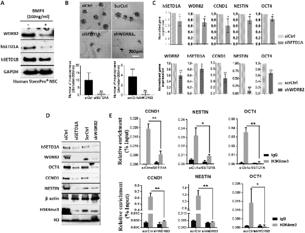 BMP4 reduces global H3K4me3 promoter occupancy through reduction of its methyltransferases WDR82 and hSETD1A. A. Western blots shows WDR82 and human SETD1A/B expression following 100ng/ml BMP4 treatment. B. Representative images and quantitative graphs showing sphere formation in human StemPro® NSCs following treatment with siRNA for hSETD1A (siSETD1A) or shRNA for WDR82 (shWDR82) vectors versus controls (control siRNA, siCtrl and scrambled shRNA, scrCtrl). C and D. Real-time PCR (C) and western blots (D) showing expression of hSETD1A, WDR82, OCT4, CCND1 and NESTIN, following treatments as in B. E. Real-time PCR using DNA from ChIP with rabbit IgG and H3K4me3 and detected with promoter primers for OCT4, CCND1 and NESTIN following treatment with siSETD1A, shWDR82 or siCtrl, scrCtrl, in StemPro® NSCs. Error bars show the standard error of three independent experiments. (* p