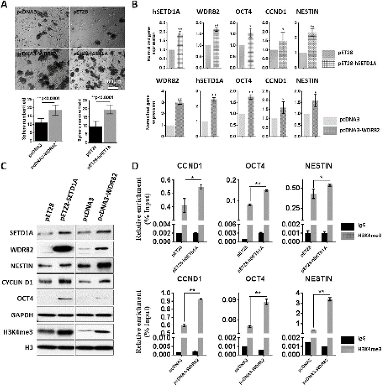 Ectopic expression of human SETD1A and WDR82 increases global H3K4me3 promoter occupancy in normal human astrocytes (HAs). A. Representative images and quantitative graphs show sphere formation from HAs following transfection with WDR82 (pcDNA3-WDR82) or human SETD1A (pET28-hSETD1A-MHL) expression plasmids, in comparison to controls (pcDNA3 and pET28- MHL). B and C. Real-time PCR (B) and western blots (C) show expression of hSETD1A, WDR82, OCT4, CCND1 and NESTIN. D. ChIP with rabbit IgG and H3K4me3 combined with real-time PCR using promoter primers for OCT4, CCND1 and NESTIN following HA transfection. Error bars show the standard deviation of three independent experiments. (* p