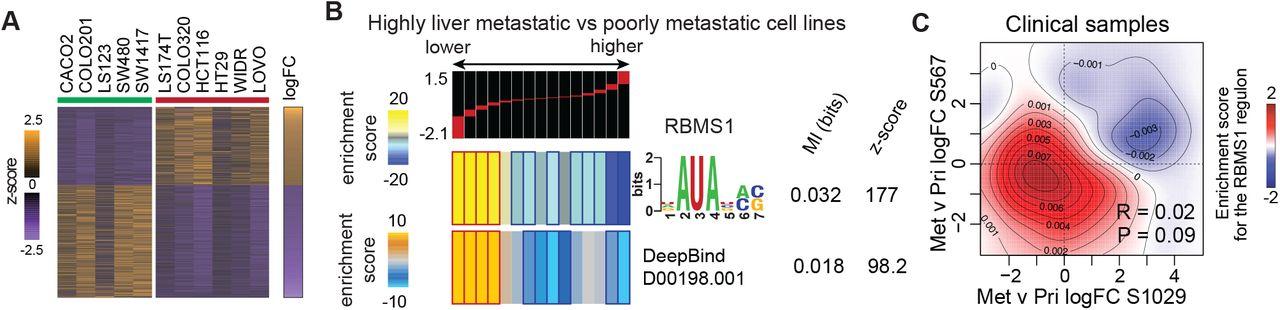 Rbms1 Suppresses Colon Cancer Metastasis Through Targeted Stabilization Of Its Mrna Regulon Biorxiv