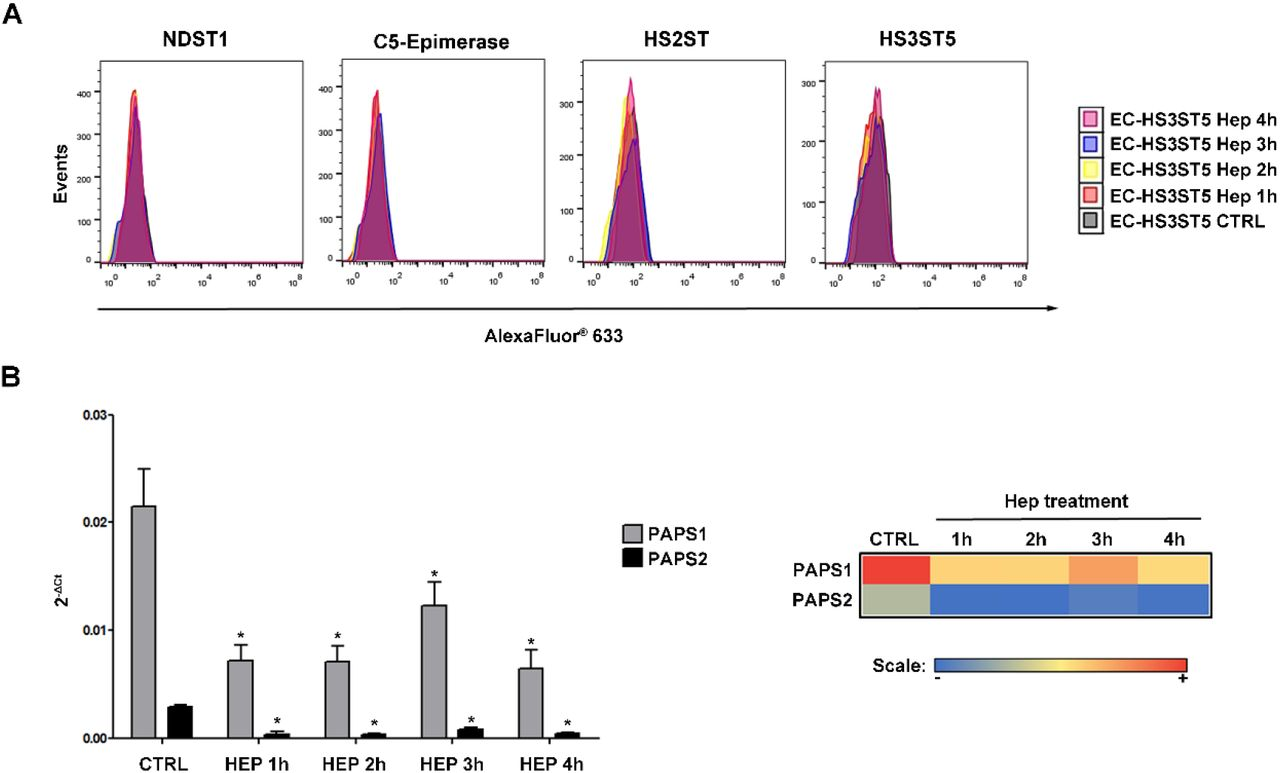 Protein and gene expression of components of HS biosynthesis in presence of heparin. (A) Protein expression of HS-modifying enzymes (NDST1, C5-epimerase, HS2ST and HS3ST5) in transfected cells previously treated with heparin was evaluated by flow cytometry using antibodies specific for each enzyme. Following incubation with primary antibodies, cells were incubated with secondary antibody conjugated with Alexa Fluor® 633 and analyzed on FACSCalibur flow cytometer. (B) PAPS synthases mRNA level in EC-HS3ST5 cells treated with heparin was analyzed by real-time. The results were expressed as mean ± standard deviation. (Right panel) Heat map was generated of mean values obtained in the gene expression assays. High and low expression are shown in red and blue colors. *, Differences statistically significant, P