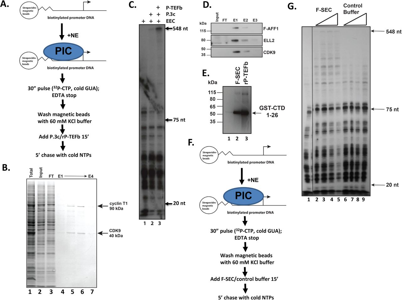 Super Elongation Complex (SEC) and P-TEFb stimulate release of paused RNA pol II A. Shown is a schematic of steps in the immobilized template assays in panels C and F. B. Purification of rPTEFb. Baculovirus expression vectors containing human P-TEFb and cyclin T1 were expressed in Sf9 cells and purified by Ni-Sepharose affinity chromatography. C. Pol II elongation is stimulated by rP-TEFb. Pulsed immobilized templates were isolated after they had been isolated and washed to remove 32 P-CTP/GUA and nuclear extract. The indicated factors (P.3c is a concentrated P11 0.3M elution that contains some elongation activity-see lane 2) were added to immobilized templates and incubated for 15', followed by a chase with unlabeled rNTPs. rP-TEFb plus a P11 elongation fraction (P.3c) was added to immobilized templates and compared to either no additional factors (lane 1) or the P.3c fraction alone (lane 2) as indicated in panel A. D. Purification of F-SEC. Flag-tagged SEC subunit AFF1 was purified from 293 cells using M2-agarose and eluted by excess Flag peptide. Input extract contained undetectable levels of SEC subunits, but which were concentrated by affinity purification (E1-E3), as indicated by western blot analysis for SEC subunits AFF1, ELL2, and CDK9. E. Kinase activity of F-SEC was assessed by incubating purified F-SEC (lane 2) or rP-TEFb (positive control, lane 3) with the known substrate GST-CTD, containing the first 26 repeats of human pol II CTD. Phosphorylation was detected by western blot using an anti-phosphoserine 2 CTD antibody. Lane 1 contains only the GST-CTD and the kinase reaction buffer. F. Schematic shows the steps in the immobilized template assay in panel G. G. F-SEC stimulates release of paused pol II. Either purified F-SEC or the control elution buffer were titrated into pulsed immobilized templates after they had been isolated and washed to remove 32 P-CTP /GUA and nuclear extract. After a 15' incubation, unlabeled NTPs were added for 5' to chase any elongation competent pol II into making full-length RNAs.