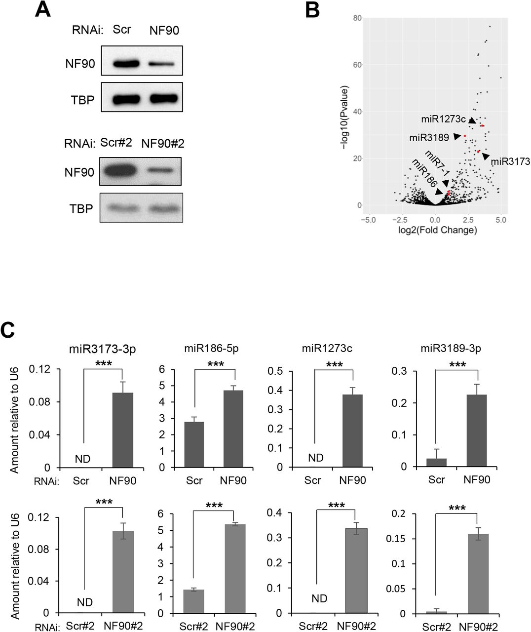 "NF90 Modulates the Expression Level of a subset of miRNAs in HepG2 cells. (A) Extracts of HepG2 cells transfected with non-targeting control siRNAs (Scr, Scr#2) or siRNA targeting NF90 (NF90, NF90#2) as indicated were analyzed by immunoblot using the antibodies indicated. (B) Total RNA extracted from cells transfected with siScr or siNF90 were analyzed by small RNA-seq. Results are shown as log2 fold change versus –log10 p-value. (C) Total RNA extracted from cells described in (A) were analyzed by Taqman RT-qPCR as indicated. Results were normalized by those obtained for U6 abundance in the same samples. ND indicates ""not detected"". Data represent mean ± SEM obtained from 3 independent experiments (*** P"