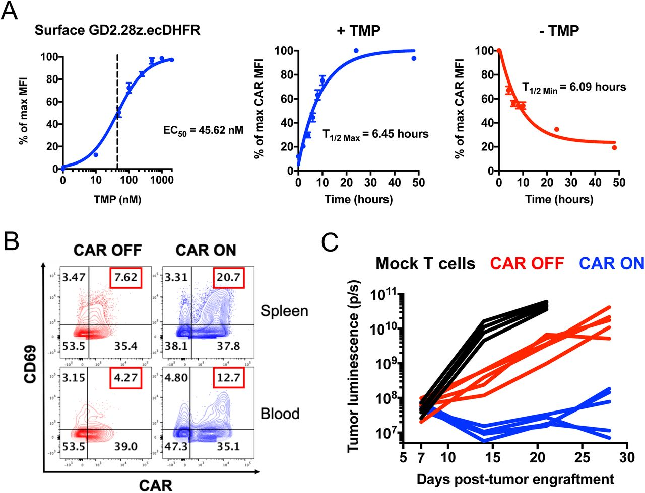 A GD2-targeting CAR fused to an ecDHFR destabilizing domain exhibits rapid ON/OFF kinetics and drug-dependent, analog control of expression and function in vivo . Related to Figure 1 . A) CAR-T cells were stained with 1A7 anti-CAR idiotype antibody and analyzed via flow cytometry. Dose-dependent control (left) and ON/OFF kinetics (middle, right) were demonstrated via trimethoprim (TMP). CAR MFI was used to generate non-linear dose-response curves. Error bars represent mean ± SEM of 3 individual donors. B) 1×10 6 Nalm6-GD2 leukemia cells were engrafted in mice. On days 5-7 post-engraftment, mice were dosed with vehicle (water, CAR OFF) or 200mg/kg trimethoprim (TMP, CAR ON) once daily. On day 7 post-engraftment, 1×10 7 GD2.28 ζ .ecDHFR CAR-T cells were infused. 24 hours after CAR-T cell infusion, peripheral blood and spleens were harvested for flow cytometry analyses. Contour plots demonstrate a TMP-dependent increase in co-expression of CAR and the activation marker CD69 in CAR ON mice compared CAR OFF mice. Representative mouse from n=7 total mice from 2 independent experiments. C) 1×10 6 Nalm6-GD2 leukemia cells were engrafted in mice at day 0 and 2×10 6 GD2.28 ζ .ecDHFR CAR-T cells expanded in vitro in the absence of TMP for 15 days were infused IV on day 7 post-engraftment. Mice were dosed 6 days per week with vehicle (CAR OFF) or 200mg/kg TMP (CAR ON). Bioluminescence imaging of the tumor indicates TMP-dependent anti-tumor activity in CAR ON mice compared to CAR OFF mice (n=5 mice/group). Representative experiment (also shown in Figure 1F-G ) from 3 individual experiments.