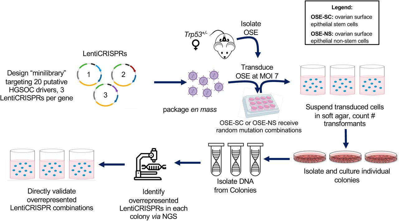 """Strategy for identifying HGSOC tumor suppressor combinations. A total of 60 constructs were made in the vector LentiCRISPRv2, constituting the """"minilibrary"""". OSE-NS or OSE-SC were transduced with functionally-validated LentiCRISPRs and then plated in soft agar. Individual transformants/colonies were isolated and individually cultured. Genome-integrated LentiCRISPRs from each transformant were identified by sequencing, and overrepresented combinations later validated in directed soft agar transformation assays. OSE-SC, ovarian surface epithelium stem cells; OSE-NS, ovarian surface epithelium non-stem cells; NGS, next-generation sequencing."""