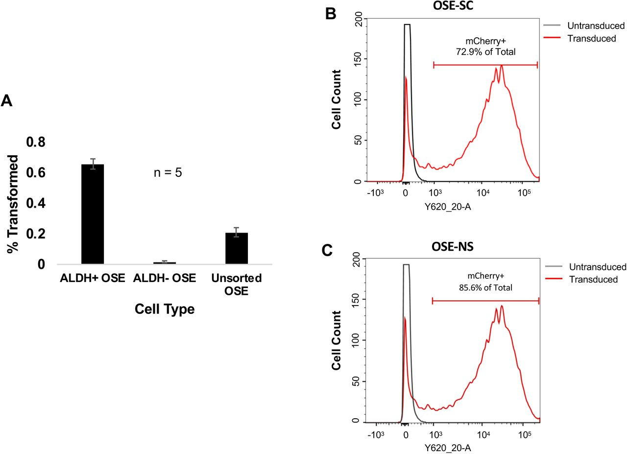 OSE-SC (ALDH+) transform more frequently than OSE-NS (ALDH-) despite similar viral transduction rates. (A) Percent transformation of OSE-SC, OSE-NS and unsorted OSE following LentiCRISPRv2 minilibrary transduction. OSE-SC transformed more frequently than OSE-NS and unsorted OSE. Unsorted OSE transformed more frequently than OSE-NS (5 replicates. SEM error bars). ( B,C) FUGW-mCherry (mCherry-expressing lentivirus) transduction efficiency in OSE-SC and OSE-NS detected via flow cytometry. Flow cytometry was used to count mCherry+ cells following transduction with equal concentrations of FUGW-mCherry lentivirus. Percentages indicate the percentage of total cells that are mCherry+. The dark grey lines represent cell counts of untransduced cells. The red line represents cell counts of FUGW-mCherry transduced cells. OSE-SC and OSE-NS gained mCherry fluorescence at similar rates following lentiviral transduction.