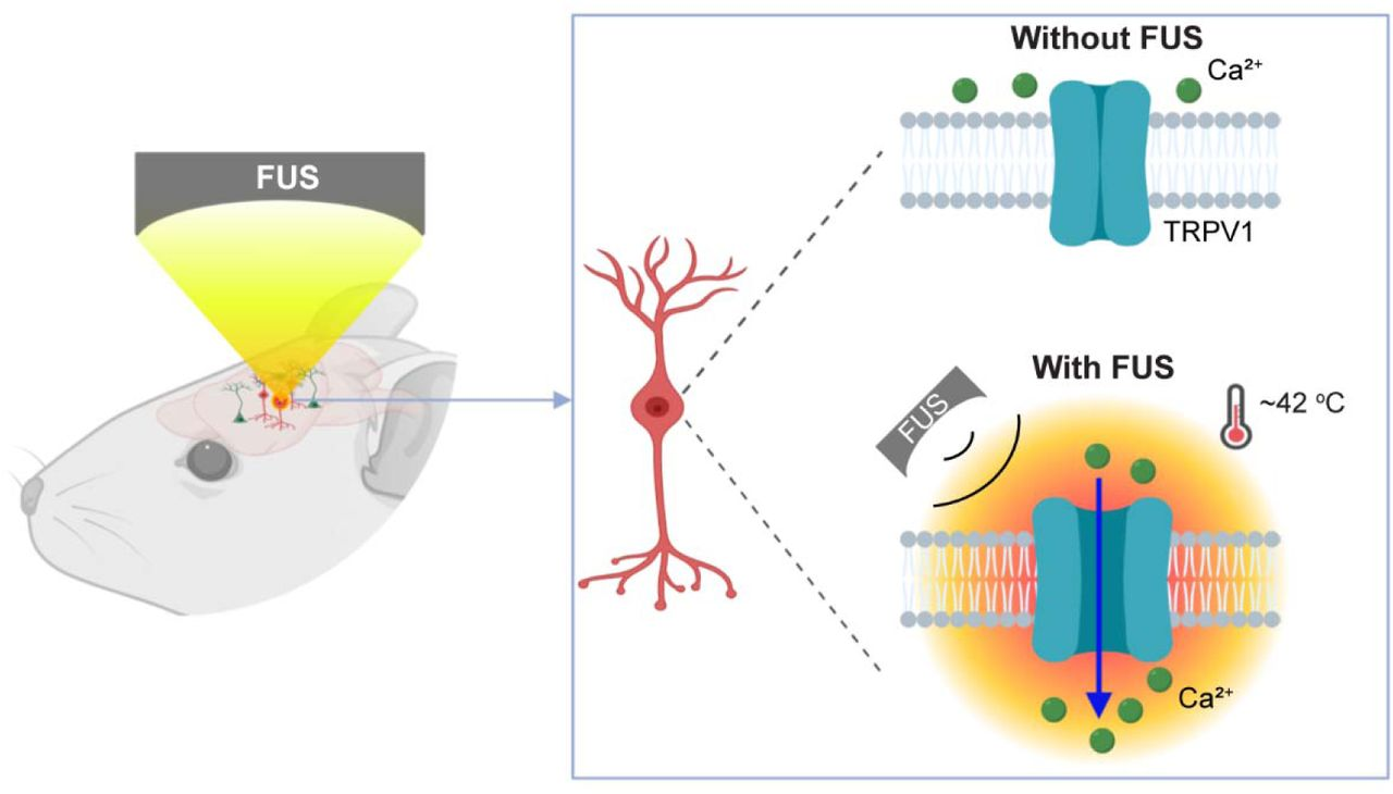 Sonogenetics for noninvasive and cellular-level neuromodulation in rodent  brain   bioRxiv