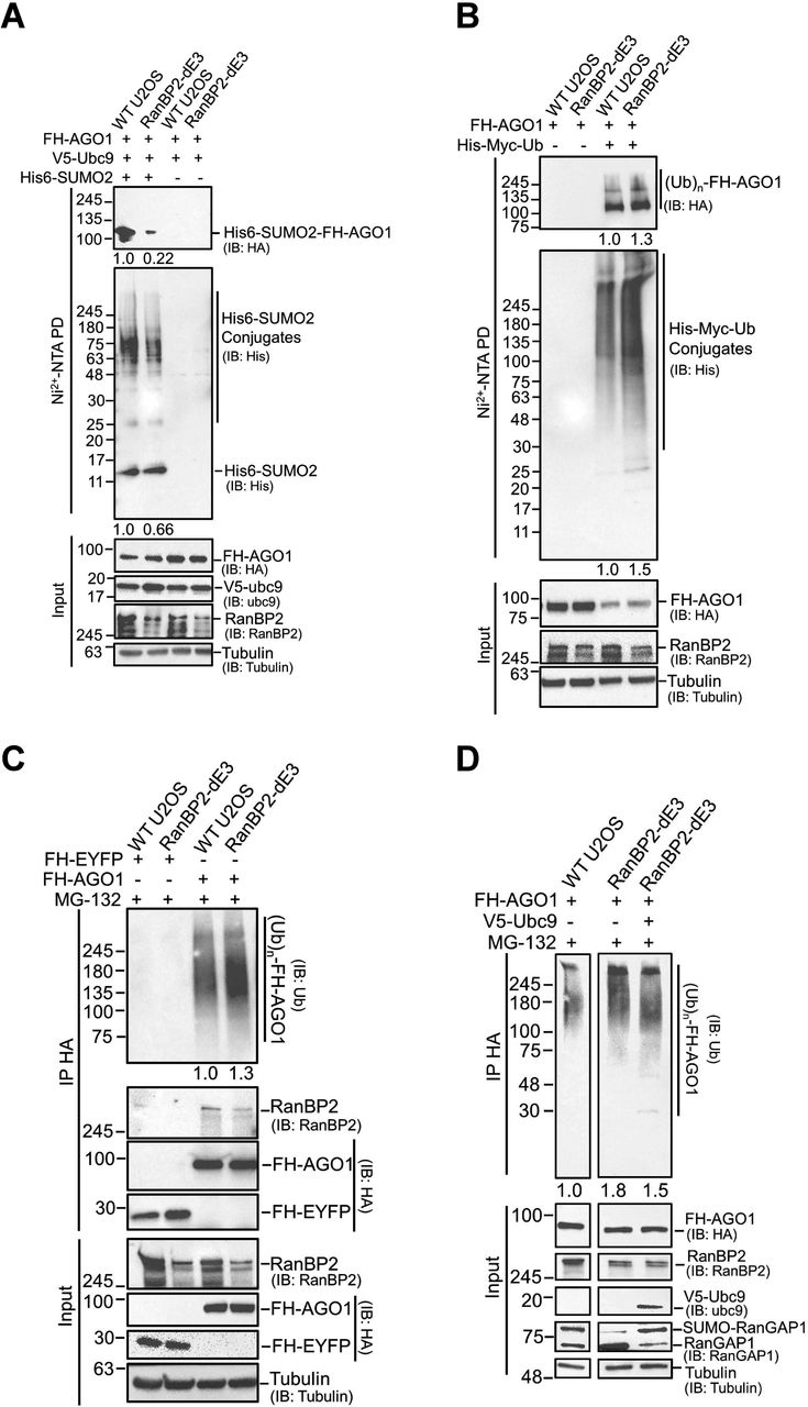 """RanBP2 promotes the sumoylation and inhibits the ubiquitination of AGO1. (A) WT U2OS, and RanBP2-dE3 cells were co-transfected with FH-AGO1 , V5-Ubc9 , and His-tagged SUMO2 ( His6-SUMO2 """"+"""") or control vector ( His6-SUMO2 """"-""""). 24 h post-transfection cells were lysed in 6 M guanidinium chloride, and the His6-SUMO2 conjugates were isolated on Nickel beads (""""Ni2+ NTA PD"""") or the lysates were directly analyzed (""""input"""") and separated by SDS-PAGE. Conjugates were analyzed for the presence of FH-AGO1 by immunoblotting for HA (IB: HA), and for total His6-SUMO2 conjugates by immunoblotting for His (IB: His). Relative levels of each signal, as analyzed by densitometry, are indicated below each blot. Input lysates were immunoblotted for FH-AGO1, V5-Ubc9, RanBP2 and α-tubulin. (B) WT U2OS, and RanBP2-dE3 cells were co-transfected with FH-AGO1, and His-Myc-tagged ubiquitin (His-Myc-Ub """"+"""") or as V5-Ubc9 as a control (His-Myc-Ub """"-""""). 18 h post-transfection, cells were treated with MG132 (10 µM) for an additional 7 h to preserve ubiquitinated conjugates. Cells were lysed in 6 M guanidinium chloride, and the His-Myc-Ub conjugates were isolated on Nickel beads (""""Ni2+ NTA PD"""") or the lysates were directly analyzed (""""input"""") and separated by SDS-PAGE. Conjugates were analyzed for the presence of FH-AGO1 by immunoblotting for HA (IB: HA), and for total His-Myc-Ub conjugates by immunoblotting for His (IB: His). Relative levels of each signal, as analyzed by densitometry, are indicated below each blot. Input lysates were immunoblotted for FH-AGO1, RanBP2 and α-tubulin. (C) WT U2OS, and RanBP2-dE3 cells were transfected with FH-AGO1 or FH-EYFP. 18 h post-transfection, cells were treated with MG132 (10 µM) for an additional 7 h to preserve ubiquitinated conjugates. Cells were lysed in RIPA buffer, and the FH-AGO1/FH-EYFP and associated proteins were isolated by immunoprecipitation using anti-HA antibodies (""""IP HA"""") or the lysates were directly analyzed (""""input"""") and separated by SDS-PAG"""