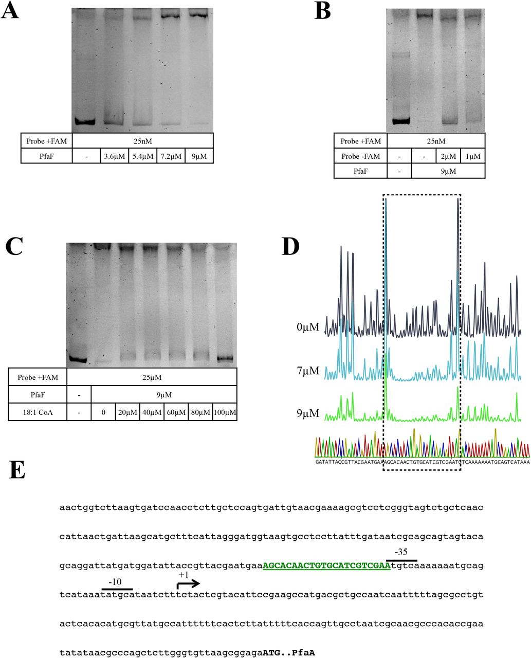 Characterization of PfaF binding to the pfaA promoter. (A) Electrophoretic mobility shift assay demonstrating PfaF binding to the pfaA promoter in a concentration dependent manner. (B) Binding of FAM-labeled probe (+FAM) is partially inhibited by the inclusion of molar excess of unlabeled probe (-FAM) indicating that PfaF binding is specific. (C) Addition of oleoyl-CoA at the indicated concentrations reverses the binding of PfaF to the probe in a concentration dependent manner. (D) DNase I footprinting analysis of PfaF binding to pfaA promoter. Purified PfaF was added at the indicated concentrations and subjected to DNase I digestion as described in Materials and Methods. Chromatograms and sequencing traces shown correspond to the coding strand and the box indicates the region protected from digestion by PfaF. (E) DNA sequence of pfaA probe used in mobility shift and footprinting assays. Putative promoter elements (−35 and −10 sites) and transcriptional start site (arrow) were previously determined ( 25 ). Region protected by PfaF indicated in bold, green, underlined font.