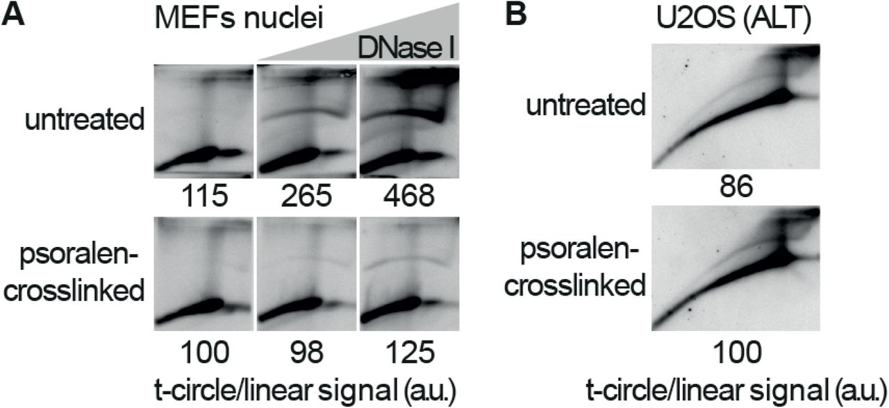 I-loop formation following the induction of DNA damage requires branch migration. A. A preparation of SV40-MEFs nuclei was split in two and one half was psoralen crosslinked on ice (in this prep, DNA branch migration is largely prevented). Then, both preps were treated with DNase I and processed for 2D-gels as described in Figure 5A . The ratio of the telomeric signal in the t-circle arc and in the linears, is reported relative to the untreated and crosslinked sample, which was arbitrarily set to 100. B. 2D-gel analysis showing that the intramolecular loops that accumulate in ALT cells are not affected by psoralen crosslinking. U2OS cells were psoralen crosslinked on ice, then genomic DNA was extracted and processed for 2D-gels as above. The ratio of the telomeric signal in the t-circle arc and in the linears, is reported relative to the crosslinked sample which was arbitrarily set to 100.