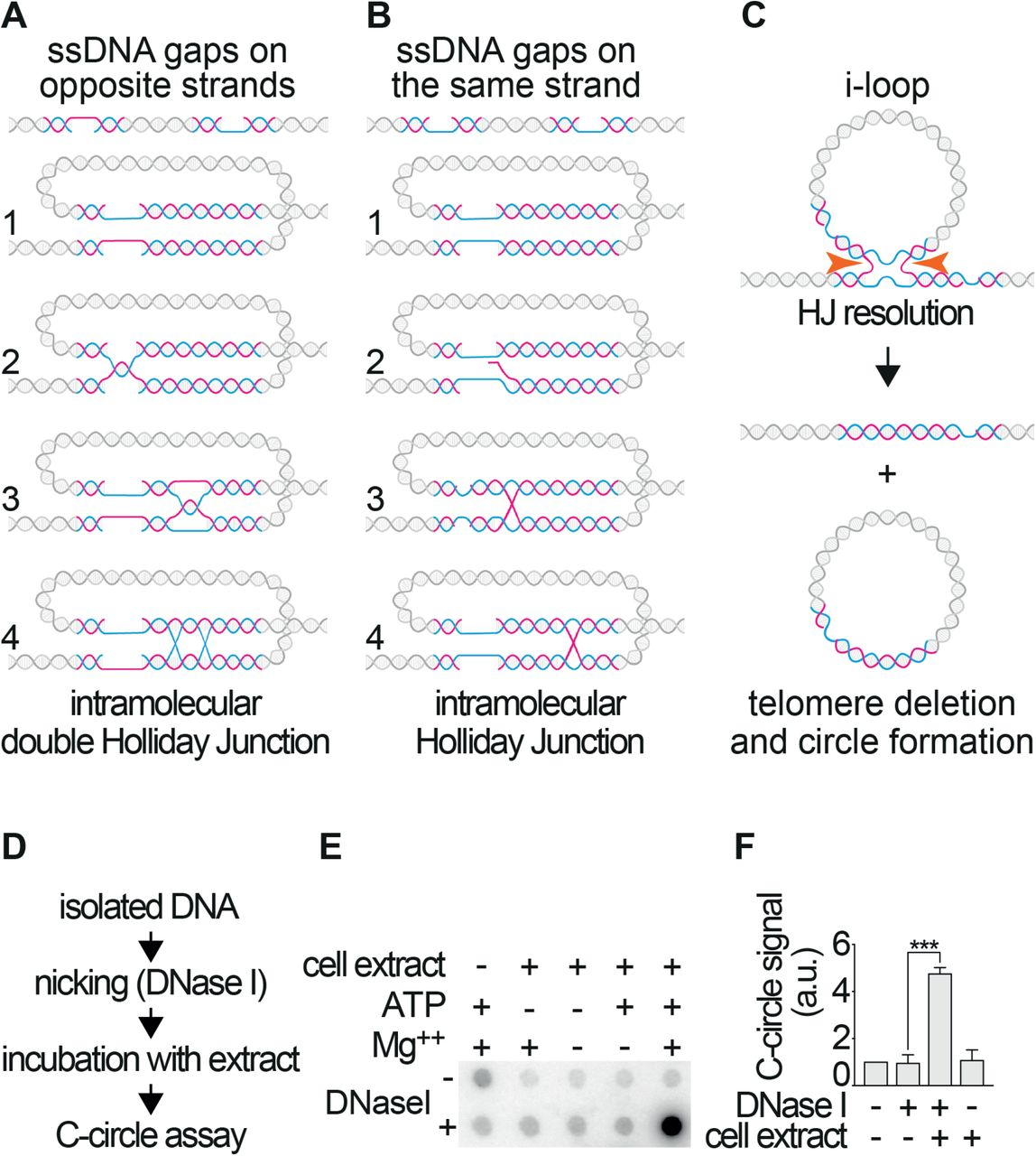I-loops are a substrate for the generation of extrachromosomal telomeric circles. A.  Model for the formation of i-loops, in the presence of short single-strand gaps on opposite telomeric strands (i.e. one gap on the G-strand and one on the C-strand of the same molecule). Exposed complementary DNA can come in close proximity by looping and undergo base pairing (step 1). Plectonemic pairing can occur simply by strand rotation, resulting in the formation of an i-loop that will resemble a DNA knot (step 2). The loop junction could branch migrate as a hemicatenane (step 3) that could be transformed in a double Holliday junction by the pairing of the opposite strands (step 4). B.  Model for the formation of i-loops, in the presence of short single-strand gaps on the same telomeric strand (i.e. both gaps on the G or on the C strand of the same molecule). The gaps can come in close proximity by DNA looping (step 1) and promote an exchange of the complementary strands (step 2) resulting in an intramolecular loop with a single Holliday junction at the base (step 3), that can undergo branch migration (step 4). C.  Model for the generation of the telomeric circles via the excision of i-loops. An i-loop with a Holliday Junction at the base becomes a substrate for Holliday Junction resolvases. Cleavage on the horizontal axis of the image (orange arrows) will result in the excision of the loop as a circle and telomere loss. Note that the excised circle, would contain a nick, resulting from the HJ resolution and a single-stranded gap (one of the original gaps that induced formation of the i-loop). D.  Schematic representation of the experimental procedure used to test the model shown in (C). Isolated DNA was nicked with low concentrations of DNase I, which induces the formation of i-loops at telomeres. The reaction was stopped, DNA was extracted and incubated for 30 minutes at 37°C with a HeLa nuclear extract in the presence of Mg++ and ATP, to allow HJ resolution. The DNA was the