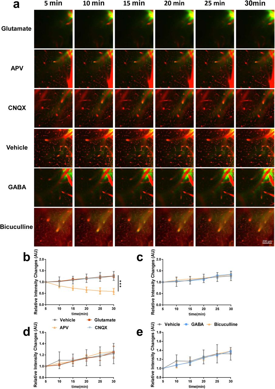 Effects of Glutamate and GABA on tracer penetration into parenchyma are AQP4-dependent. (a) In vivo two-photon imaging of tracer clearance through the glymphatic pathway after intracisternal injection of GABA/glutamate and the respective antagonists in AQP4 -/- mice. (b, c) Quantification of CSF tracer influx into the surrounding parenchyma via 3D reconstruction and paravascular CSF tracer clearance at 100 μm below the cortical surface (d, e) . APV strongly accelerated paravasular movement while no significant changes were observed in mice receiving glutamate and CNQX. GABA and bicuculline did not affect paravascular movement. No significant changes in tracer penetration into the interstitium were observed among the experimental groups, compared with the vehicle group (n=6 mice per group).