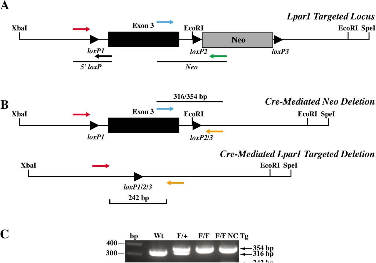 Cre-mediated deletion in mice with a recombined Lpar1 allele. (A) Schematic showing PCR primer pairs used to screen for cre-mediated deletion of the floxed neomycin cassette. The primers shown assay for the presence of the 5' loxP site and the presence or absence of the neomycin cassette. (B) Diagrams showing the finished Lpar1 targeted allele produced through in vivo cre-mediated deletion of the neomycin cassette (top) and cre-mediated targeted deletion of floxed Lpar1 exon 3 (bottom). The three-primer combination used for PCR genotyping is indicated. (C) PCR genotyping of tail DNA from wildtype (Wt), Lpar1 flox /+ (F/+), Lpar1 flox/flox (F/F), and Lpar1 flox/flox - nestin-cre transgenic (F/F NC Tg) mice. Primers shown in (B) were used for PCR. Wildtype Lpar1 produced bands of 316 bp, while floxed alleles produced bands 354 bp. The presence of a 242 bp band in the Lpar1 flox/flox - nestin-cre sample is indicative of cre-mediated deletion in neural tissue present in the mouse tail.