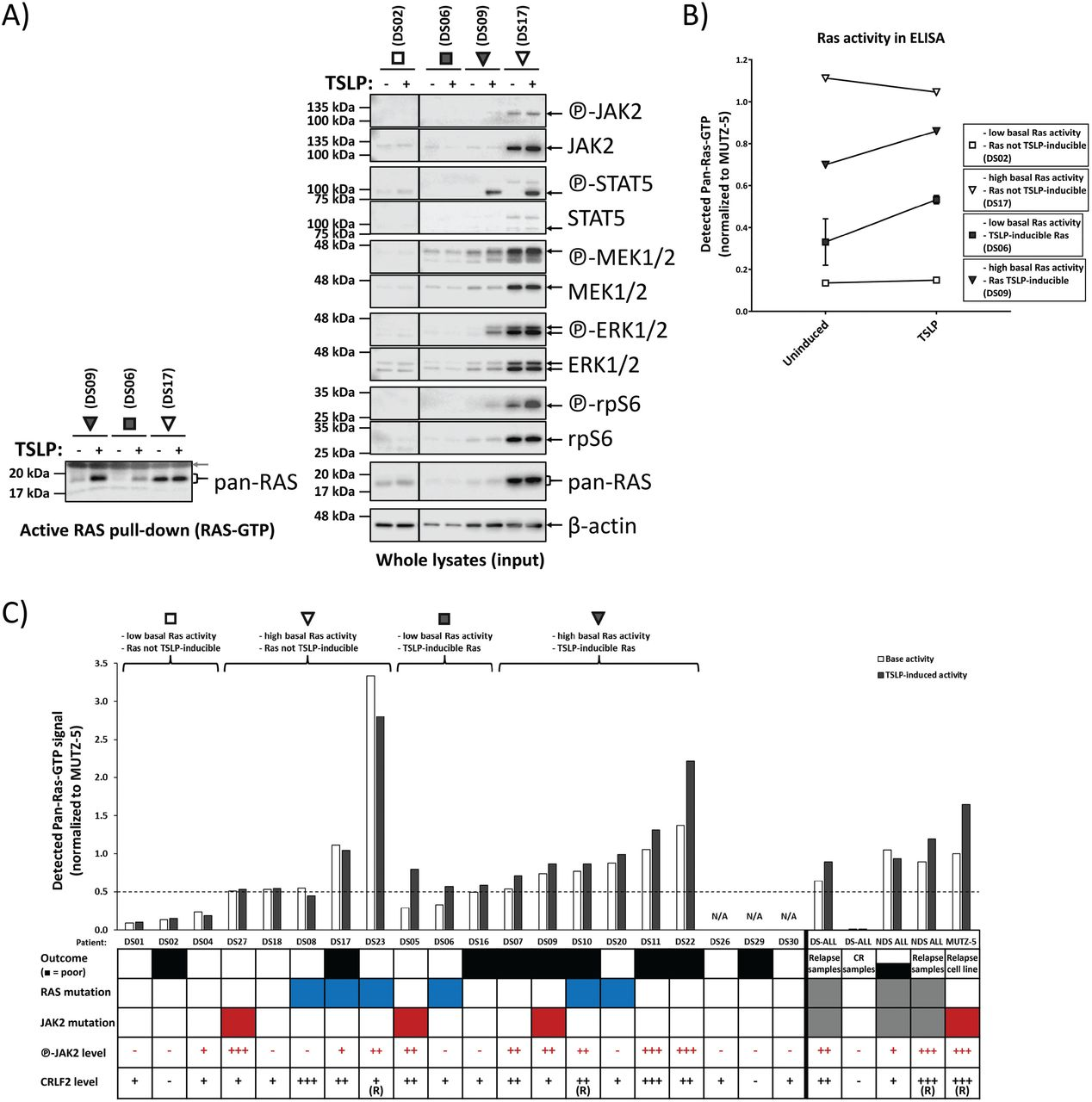 70% of primary bone marrow presentation samples of Down syndrome ALL patients show activated and/or TSLP-inducible RAS, regardless of mutations status. Primary presentation samples of DS-ALL patients were cultured for 2 days (see Supplementary-Fig.S4A legend for details) and then induced for 10 min with 20 ng/mL TSLP (or not induced) in serum-reduced medium. Lysates were analyzed for RAS activity in WB pull-down (A) or ELISA (B) using an ELISA-specific RAS pull-down assay. (A) Each lysate was split up for analysis in Western blot RAS-GTP pull-down assay and for total protein signal. RAS-GTP pull-down (left) and lysate samples (right) were loaded on separate gels. An SDS-PAGE followed by Western blotting was performed. To assess the total protein and phosphorylated protein amounts on the same PVDF-membrane, membranes were stripped and reprobed with new antibodies. Antibody-targets are labeled on the right side of each image with black arrows indicating the respective protein band; the grey arrow shows the loading of the GST-RBD in the pull-down assay. (B) The RAS activity pattern in the patient samples from (A) was confirmed via ELISA measurement of RAS-activity in aliquots that were independently thawed and processed as described above The line graph illustrates the four main patterns observed for RAS activity in primary ALL patient samples. (C) Shows an overview of the ELISA-measured RAS activity for the DS-ALL cohort at diagnosis (not enough cell material was available for DS26, DS29 and DS30). The RAS-GTP pull-down for ELISA was performed on lysates from cells at minimum 75% viability at a 100 ng/μL total protein concentration. In parallel, uninduced MUTZ-5 cells were subjected to the same treatment as the primary patient cells and were used to normalize all RAS activities. Brackets on top indicate the groups of the four RAS activity patterns presented in (A, B). For visualization purposes only in this graph, basal RAS activity over 50% of MUTZ-5 basal RAS activi