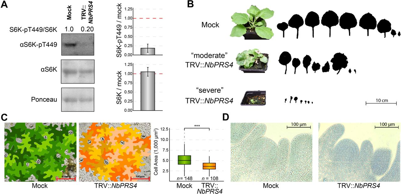 """Cytosolic PRS (PRS4) drives plant development and TOR activity in N. benthamiana . (A) Silencing PRS4 drastically reduces TOR activity. S6K-pT449 levels reflect TOR activity, because S6K-T449 is a direct substrate of TOR ( Xiong and Sheen, 2012 ). S6K-pT449 and total S6K levels were assayed by Western blots in knockdown TRV:: NbPRS4 plants or mock controls (representative images shown here). Quantification of band densities confirmed that S6K-pT449 levels decrease ∼5-fold in TRV:: NbPRS4 knockdowns, but total S6K levels are not affected in TRV:: NbPRS4 . (B) PRS4 is required for shoot development. There are fewer leaves in TRV:: NbPRS4 knockdowns, and the leaves are misshapen and small. We observed individual-to-individual variation in phenotypic severity after silencing PRS4 by VIGS; a representative of the """"moderate"""" TRV:: NbPRS4 phenotype and of the """"severe"""" TRV:: NbPRS4 phenotype are shown. Outlines of leaf shapes are shown, including all leaves with silenced PRS4 expression (i.e., only leaves above the primary infected leaf), with the oldest leaf on the left and the youngest leaf on the right. (C) Silencing PRS4 impairs cell expansion and cell division. Epidermal pavement cell shape was not dramatically altered in TRV:: NbPRS4 knockdowns, but epidermal pavement cell size was significantly lower. This difference in cell size is insufficient to account for the decrease in total leaf area shown in panel B; therefore, there are also fewer epidermal pavement cells in TRV:: NbPRS4 . (D) We did not observe clear effects of silencing PRS4 on vegetative shoot apical meristem morphology."""