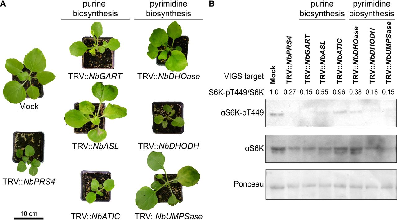 Silencing key genes in nucleotide biosynthesis inhibits TOR activity. (A) Nucleotide biosynthesis is necessary for normal shoot development and physiology. Silencing genes downstream of PRS4 in nucleotide biosynthesis in N. benthamiana reduced leaf number and size, disrupted leaf shape, and caused chlorosis, similar to the phenotypes observed in TRV:: NbPRS4 plants. Each gene was silenced in at least six plants per experiment, and the entire experiment was replicated three times; representative individuals of each silenced gene are shown. (B) Silencing nucleotide biosynthesis genes lowers TOR activity. S6K-pT449 levels are strongly reduced in silenced plants compared to mock-infected controls, and the S6K-pT449/S6K ratios are consistently lower.