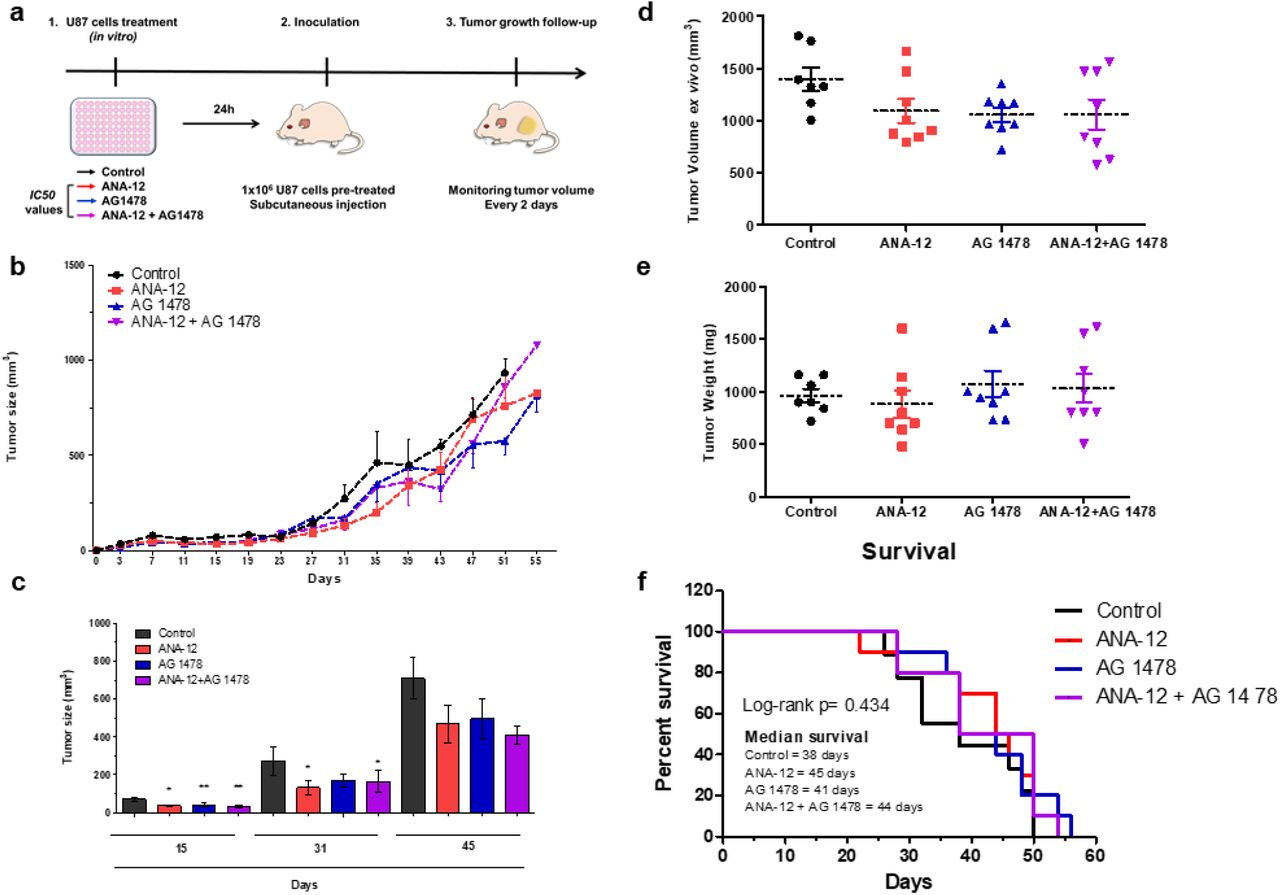 Inhibition of TrkB and EGFR alone or in combination in a subcutaneous GBM xenograft mouse model. U87MG cells were pretreated in vitro for 24 h with ANA-12 (13.85 μM), AG-1478 (13.26 μM) or ANA-12 plus AG-1478, and the viable cells were injected into the flanks of nude mice (6-7 mice per group) as shown in the schematic drawing (A). Caliper measurements were used to determine the displayed subcutaneous tumor volume. Mice were euthanized and tumors were excised when volume reached approximately 800-1,000 mm 3 (B) Tumors were measured every 2 days and volumes were calculated as described in materials and methods section. Tumor growth is represented by tumor volume (mm 3 ) at the indicated days; Control ( n = 7), ANA-12 ( n= 8), AG 1478 ( n= 8) and ANA-12 plus AG 1478 ( n= 8) (C) Tumor growth curve is shown on selected time points of 15, 31 and 45 days to highlight statistical differences (D). Tumor volumes (mm 3 ) at the time of tissue harvest. (E) Tumor weight (mg) at the time of tissue harvest are shown in (F) Kaplan-Meier curves presenting percent of mice surviving following tumor implantation. Data are expressed as mean ± SEM (* p