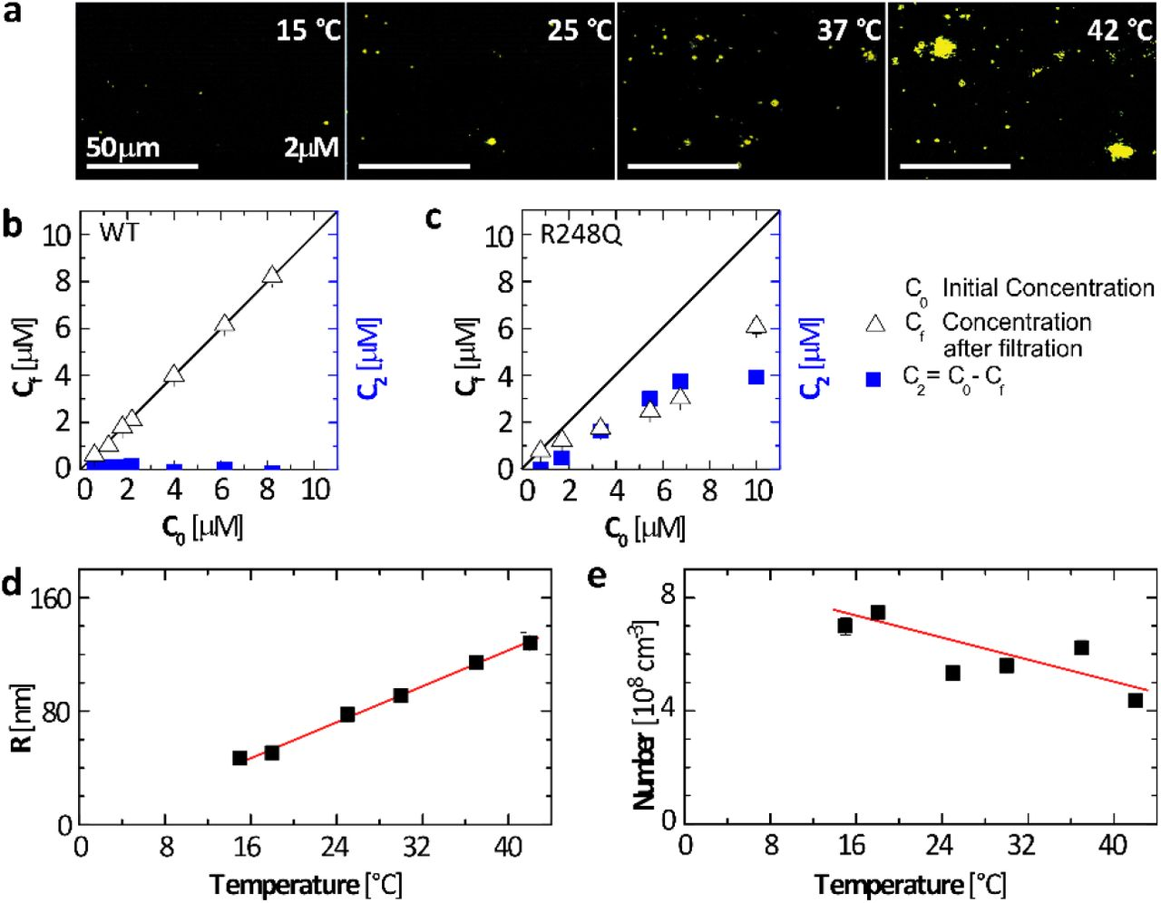 p53 R248Q clusters at temperatures between 15 and 42°C. a. Representative OIM micrographs collected from a p53 R248Q solution with concentration C 0 = 2. μM after incubation for 20 minutes at each temperature. The observed volume is 5 × 80 × 120 μm 3 depth × height × width. Aggregates appear as cyan speckles. b, c. Concentrations C f and C 2 , defined in the plot, of wild type p53, in b , and P53 R248Q, in c , after incubation for 20 min at 15°C as a function of the initial solution concentration C 0 . d, e . The average radius R and the total number N, respectively, of the aggregates, determined by OIM from images as in a . The average of five determinations in distinct solution volumes is shown. Error bars indicate standard deviations and may be smaller than the symbol size. Lines are just guides to the eye.