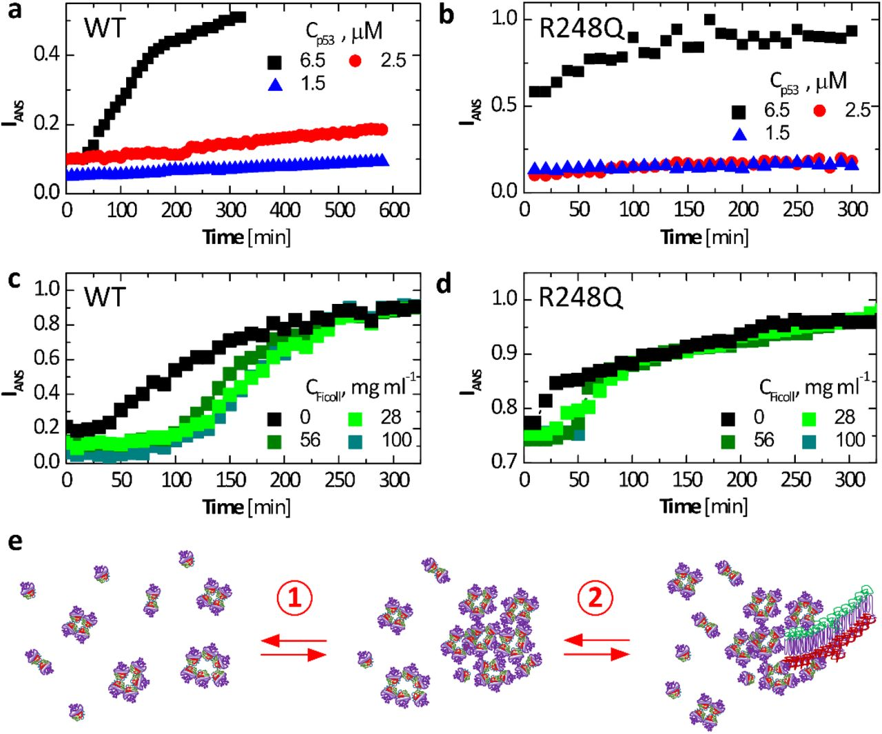 Fibrillization of wild type and p53 R248Q. a – d. Evolution of the intensity of fluorescence at 500 nm of 1-anilino-8-naphthalenesulfonate (ANS) in the presence of p53 at 37°C. ANS concentrations was 200 μM in all tests. a, b. At the listed concentrations of wild type, in a , and R248Q, in b , in the absence of Ficoll. c, d. At 6.5 μM of wild type, in c , and R248Q, in d , and in the presence of varying concentrations of Ficoll. e. Schematic of two-step nucleation of fibrils. Step 1. Mesoscopic p53-rich clusters form from misassembled p53 oligomers and native tetramers. Step 2. Fibrils nucleate within the mesoscopic clusters. Fibril growth proceeds classically, via sequential association of p53 monomers from the solution.