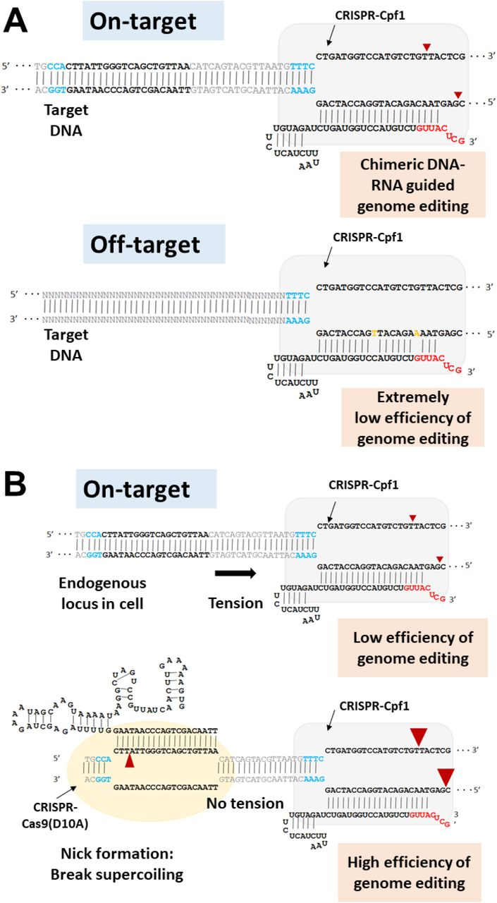 Mechanism underlying the enhanced Cpf1 editing efficiency and specificity of the combination of chimeric <t>DNA-RNA</t> guide and SpCas9 nickase. (A) Schematics of the chimeric DNA-RNA-guided editing with Cpf1. Off-target DNA cleavage is dramatically decreased by chimeric (cr)RNA guided Cpf1 binding because of the higher mismatch sensitivity. The red arrowhead indicates the cleavage site for double-strand breaks. (B) Enhanced genome editing with a combination of SpCas9 nickase (D10A) and chimeric DNA-RNA guided Cpf1. DNA supercoiling generates a tension that inhibits the chimeric (cr)RNA guided Cpf1 cleavage activity. Nickase relaxed supercoiling enhances chimeric (cr)RNA guided Cpf1 DNA cleavage activity on genomic DNA. The small and large red arrowhead indicates the cleavage site for nick by SpCas9 nickase (D10A) and enhanced double-strand break by Cpf1. Red color in the (cr)RNA indicates DNA substitution. PAM sequences (NGG for SpCas9 nickase and TTTN for AsCpf1) are shown in blue color and mismatched sequence to target sequence are shown in orange color, respectively.