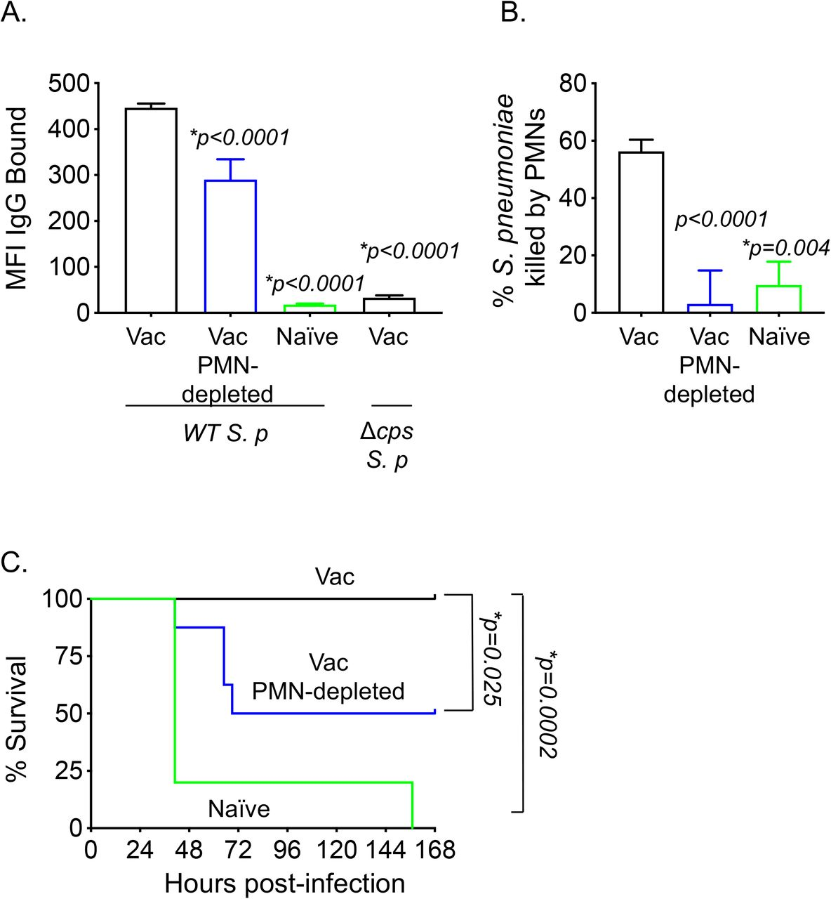 PMNs are required for optimal antibody function following PCV. (A-C) Sera were collected from naïve, Prevnar-13 immunized and PMN depleted immunized mice four weeks post vaccination following the timeline indicated in Fig 1A . (A) Wild type ( WT ) or a capsule deletion mutant ( Δcps ) S. pneumoniae were incubated with the indicated sera for 30 minutes, washed and stained with fluorescently-labeled anti-mouse IgG. The amount (mean fluorescent intensity or MFI) of bound Abs was determined by flow cytometry. Representative data from one of three separate experiments (n=3 biological replicates) are shown where each condition was tested in triplicate (n=3 technical replicates) per experiment. (B) The ability of PMNs isolated from naïve mice to kill pneumococci pre-opsonized with the indicated sera was determined. Percent bacterial killing was determined with respect to a no PMN control. Data shown are pooled from three separate experiments (n=3 biological replicates) where each condition was tested in triplicate (n=3 technical replicates) per experiment. (A-B) Bar graph represent means+/-SD and asterisks indicate significant differences from vaccinated controls as calculated by One-way ANOVA followed by Dunnet's test. (C) Naïve C57BL/6 female mice were injected i.p with 200μl of pooled serum from the indicated mice then challenged i.t. 1 hour later with 5×10 5 CFU S. pneumoniae TIGR4. Survival was assessed over time. *, denotes significance by the log-Rank (Mantel-Cox) test. Data were pooled from 8 mice/group from two separate experiments.