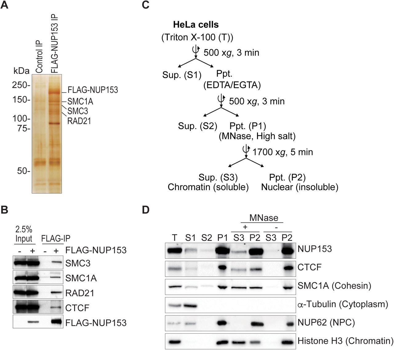 NUP153 interacts with CTCF and cohesin. (A) Silver stain showing proteins that IP with FLAG-NUP153. (B) Co-IP shows FLAG-NUP153 interaction with CTCF, and cohesin subunits, SMC3, SMC1A, RAD21. NUP153 was pulled down using anti-FLAG antibody (Ab). (C) Schematic showing steps of chromatin fractionation assay in HeLa cells. (D) NUP153 was detected in the nuclear insoluble fraction (P2) along with CTCF and cohesin. NUP153 detected in the chromatin-associated soluble fraction (S3) following micrococcal nuclease (MNase) treatment of P1 fraction. Ppt, precipitate; Sup, supernatant; Nucleoporin 62, NUP62; Loading controls: α -Tubulin (cytoplasm), Histone H3 (chromatin).