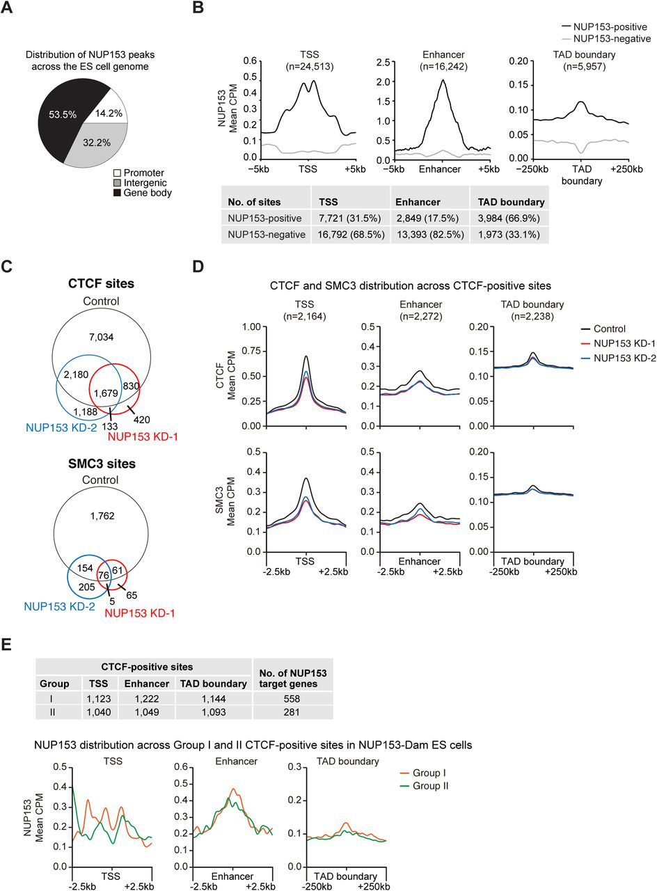 NUP153 mediates CTCF and cohesin binding at cis -regulatory elements and TAD boundaries in mouse ES cells. (A) Distribution of NUP153 peaks in mouse ES cells. Peaks are categorized as promoters (×2kb from TSS to +100 bp from TSS), gene body (+100bp from TSS to +1kb from transcription termination site (TTS)), intergenic sites (