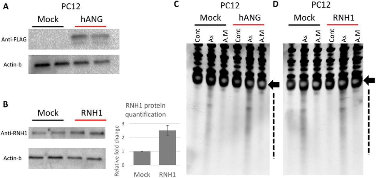 Plasmid hAng or RNH1 overexpression in PC12 and their impact on tRNA cleavage after stress. A: western blotting confirmation of Flag labeled human angiogenin expression in PC12. B: Western blotting confirmation of RNH1 overexpression after plasmid induction. RNH1 expression increased 2.5 folds when corrected to beta-actin expression (graph represent relative quantification using ImageJ). C: SYBR gold staining after hAng overexpression and stress shows that hAng overexpression increased tRNA cleavage after As stress only and had not impact on A.M stress. D: RNH1 overexpression did not suppress tRNA cleavage after As stress. Arrow: tRNA, dotted line: tiRNA.